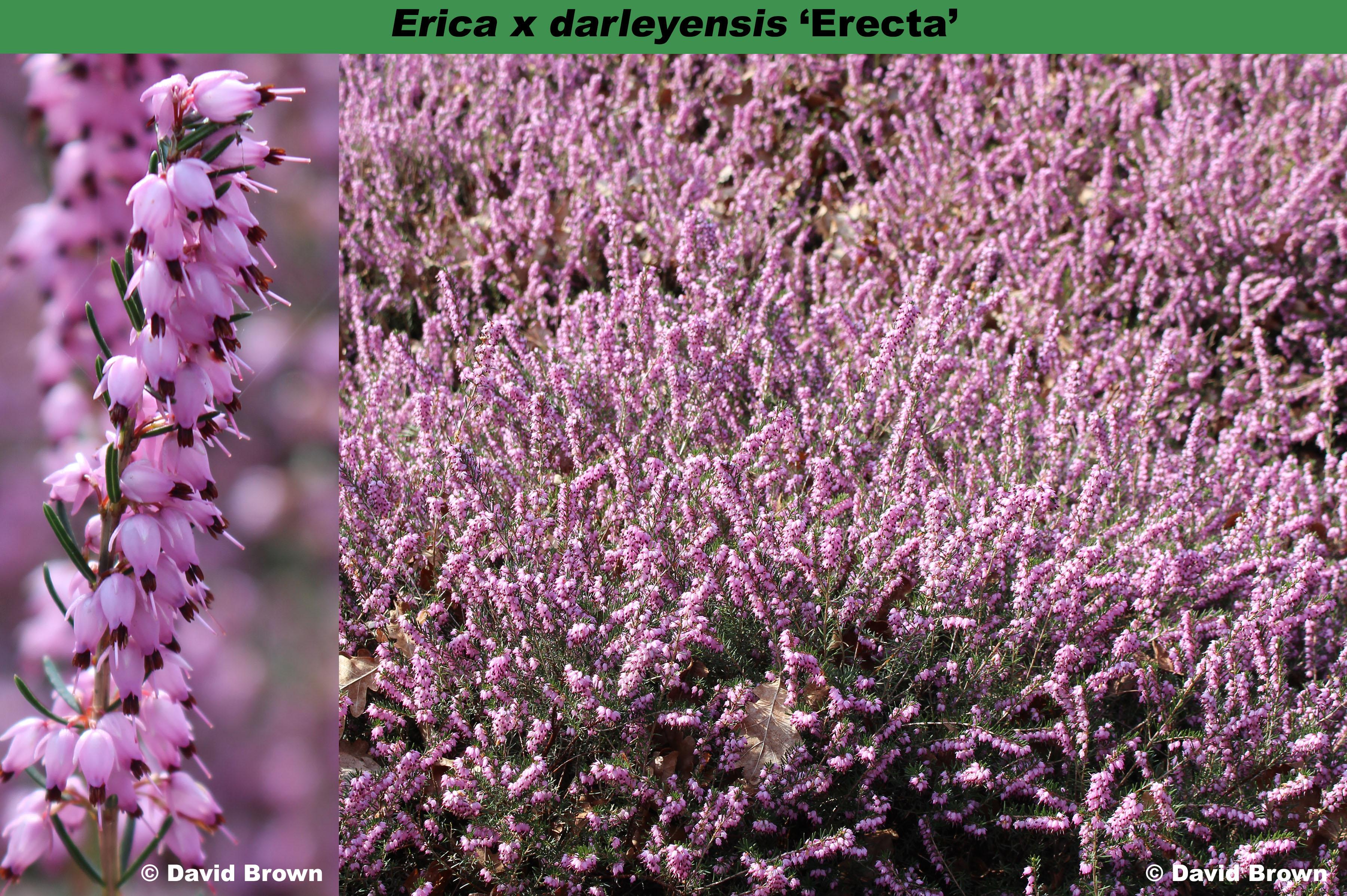 'Erecta'