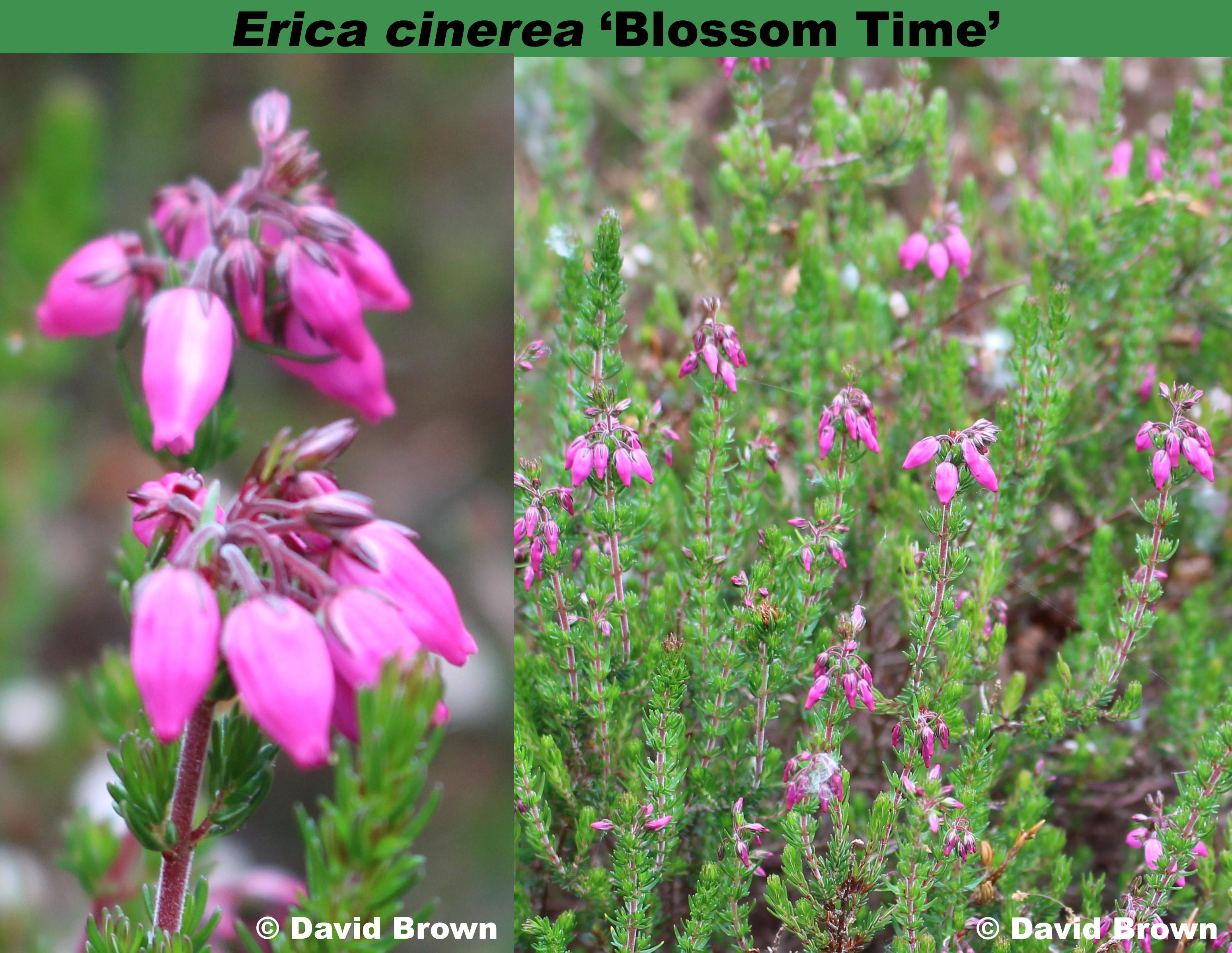 'Blossom Time'