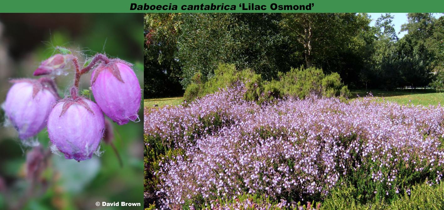 'Lilac Osmond'