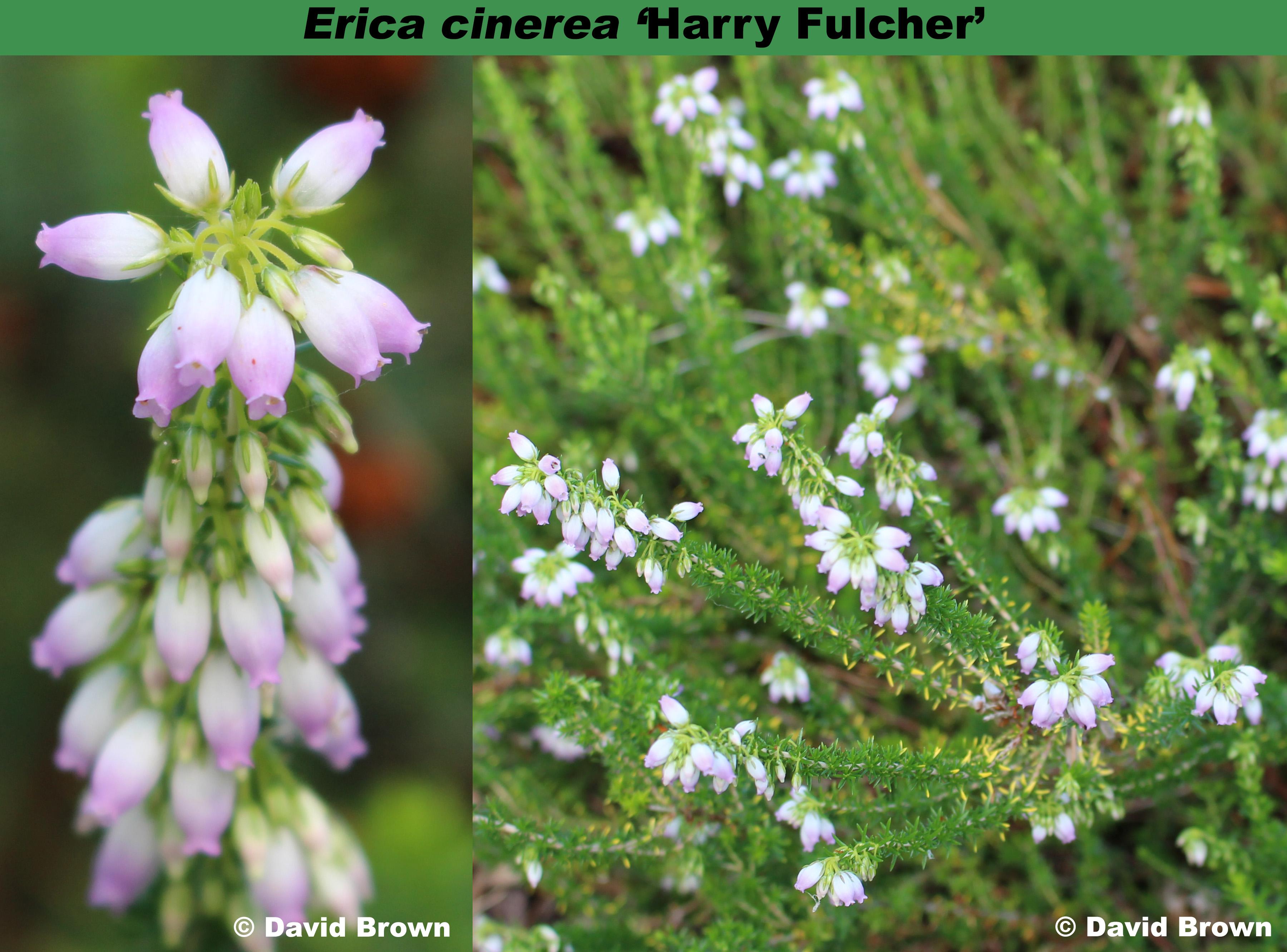 'Harry Fulcher'