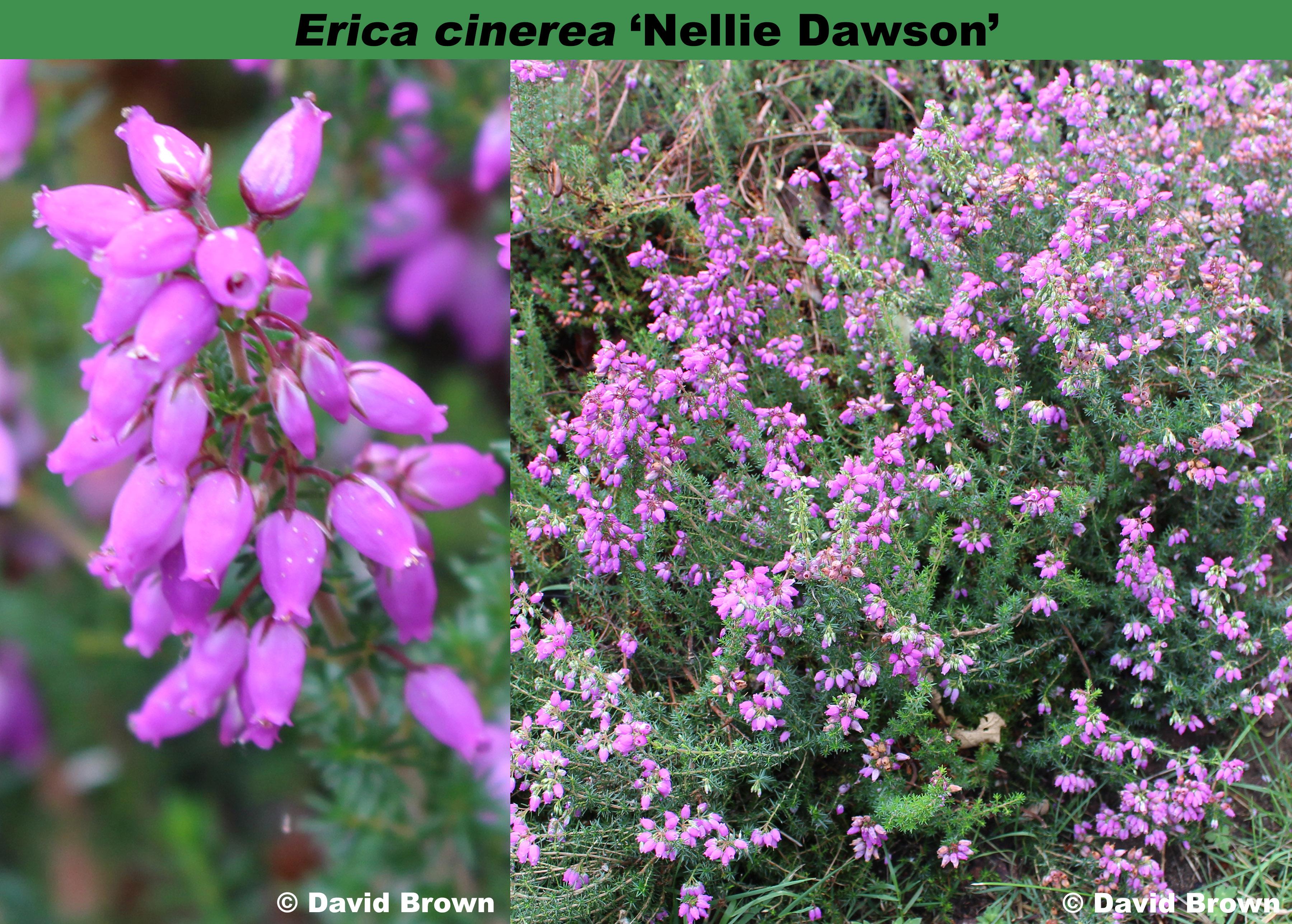 'Nellie Dawson'