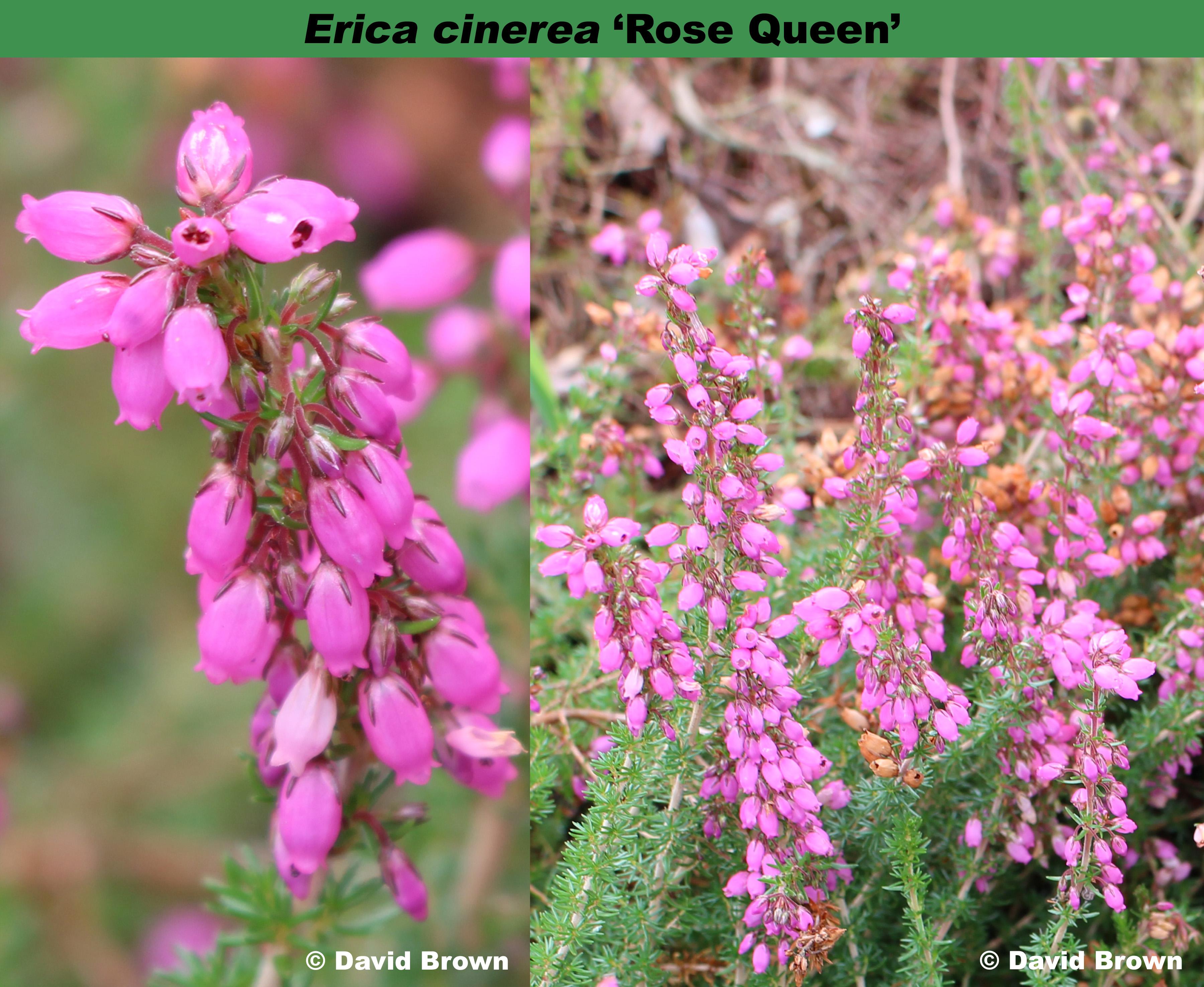 'Rose Queen'