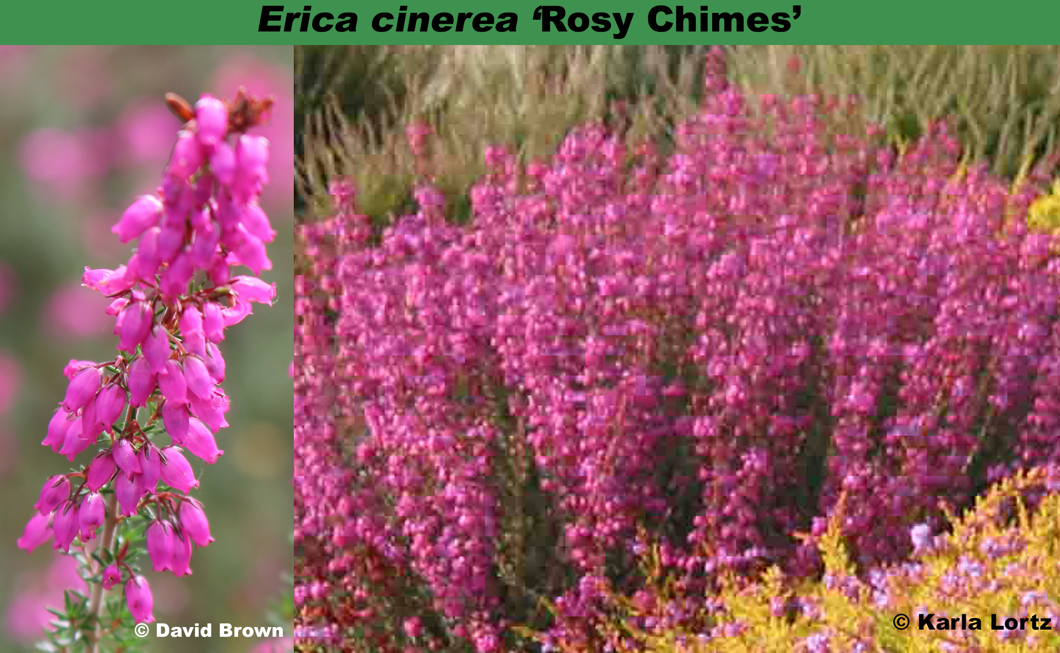 'Rosy Chimes'