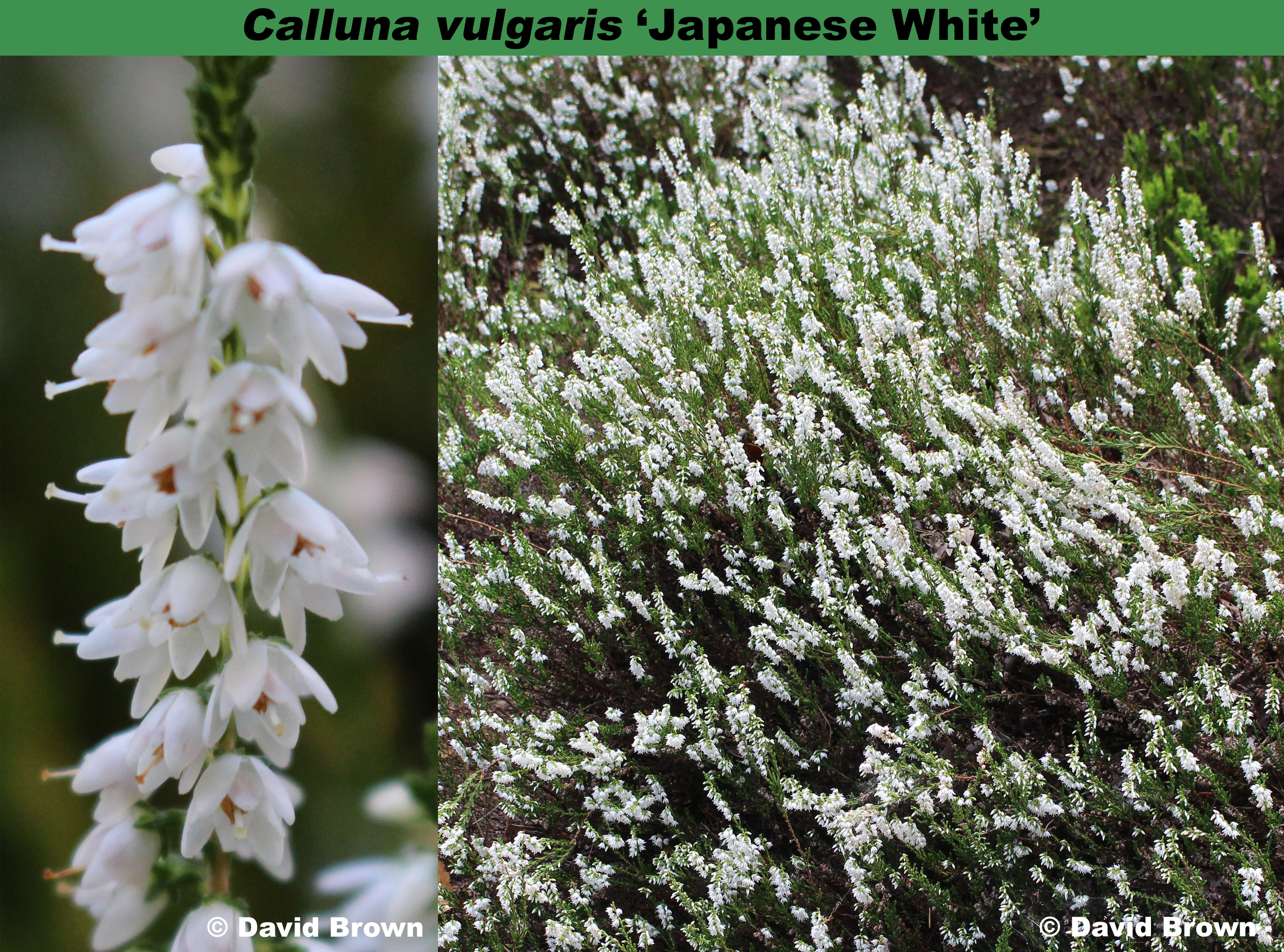 The Heather Society Japanese White
