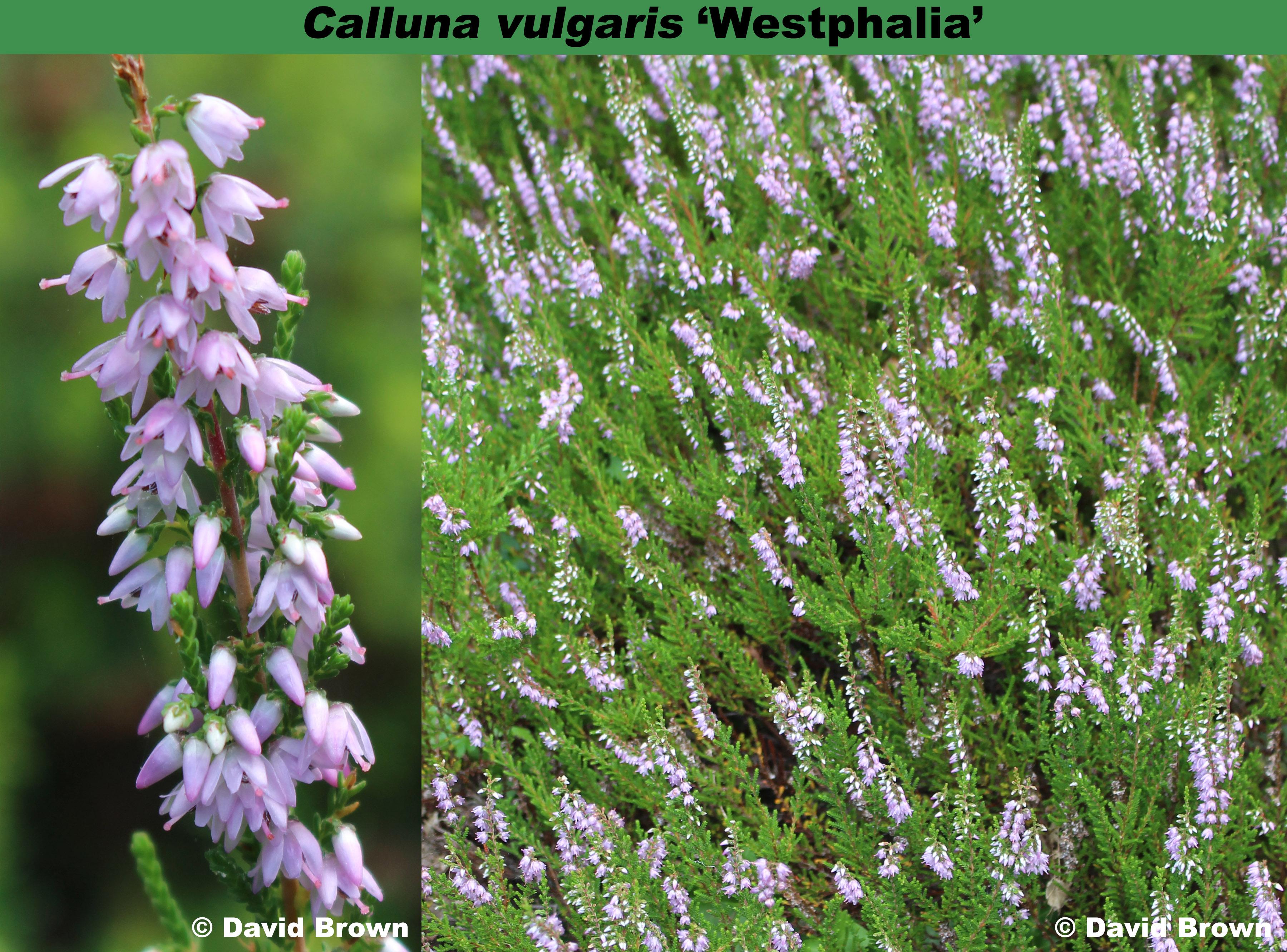 'Westphalia'