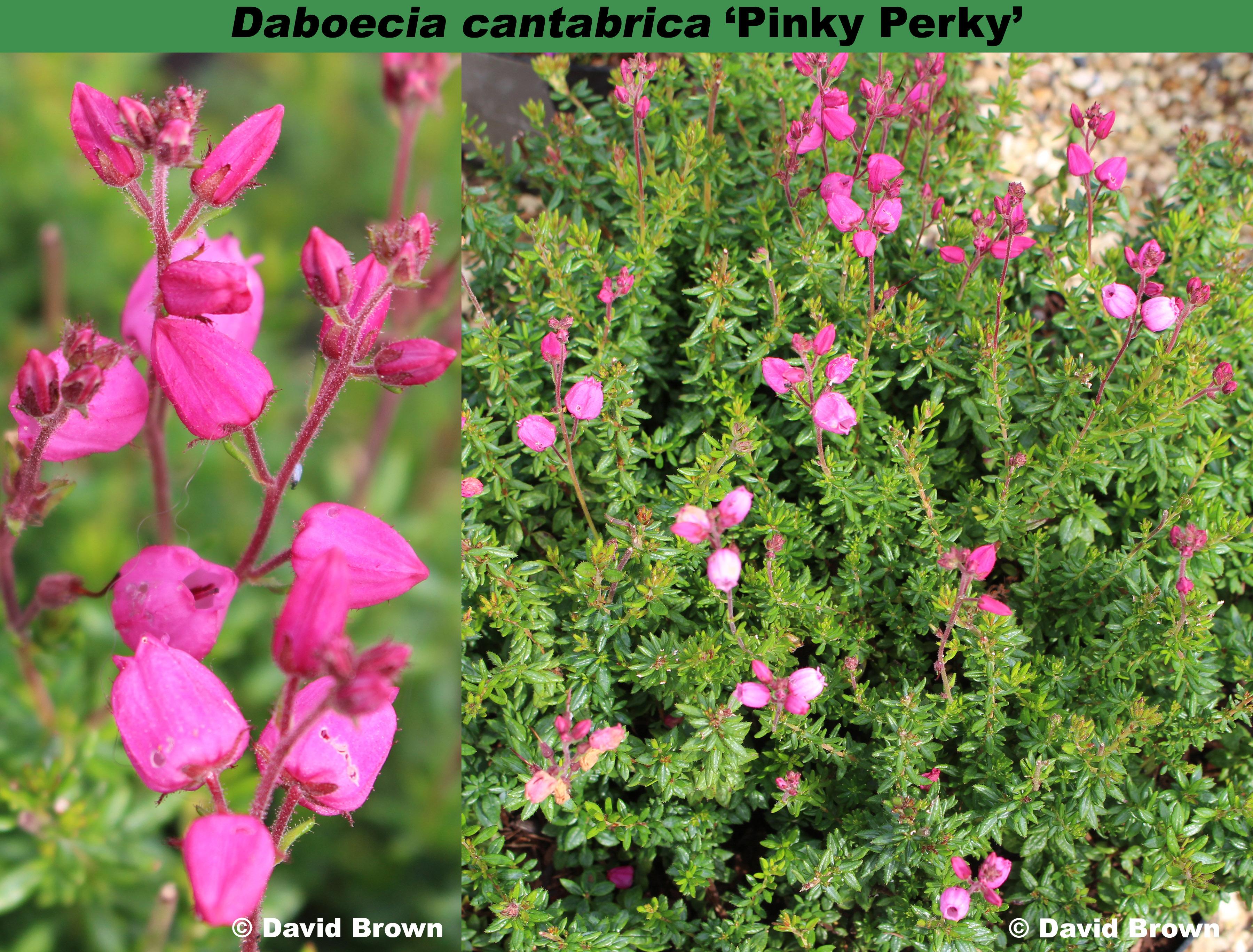 'Pinky Perky'