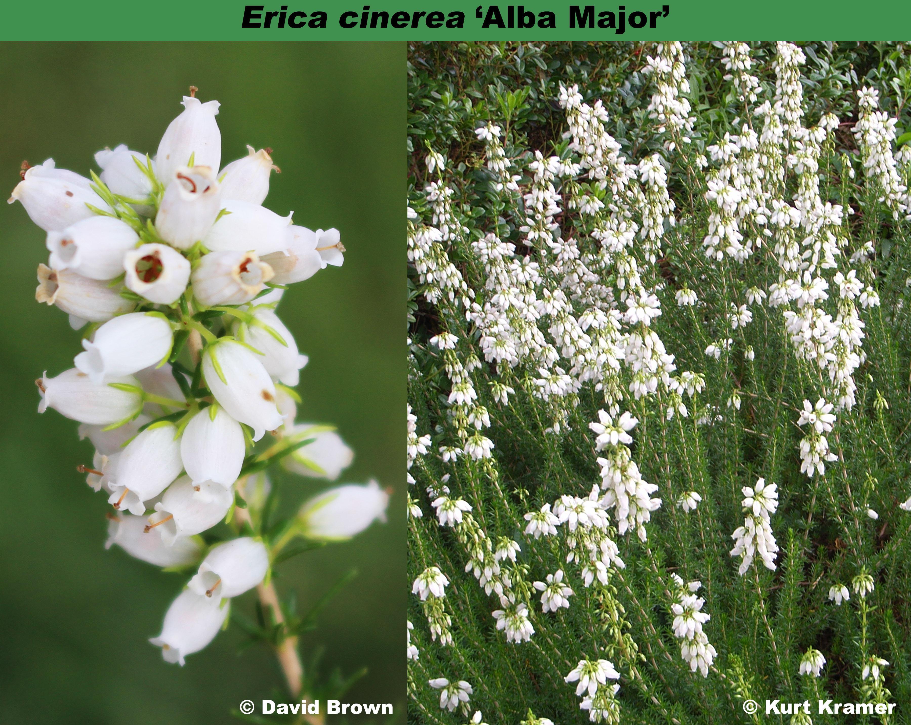 'Alba Major'