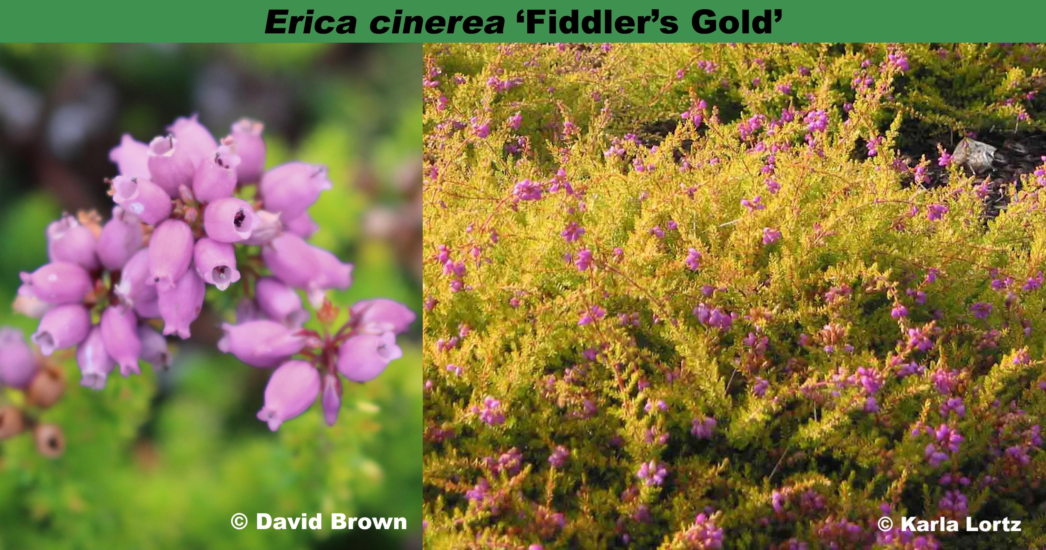 'Fiddler's Gold'