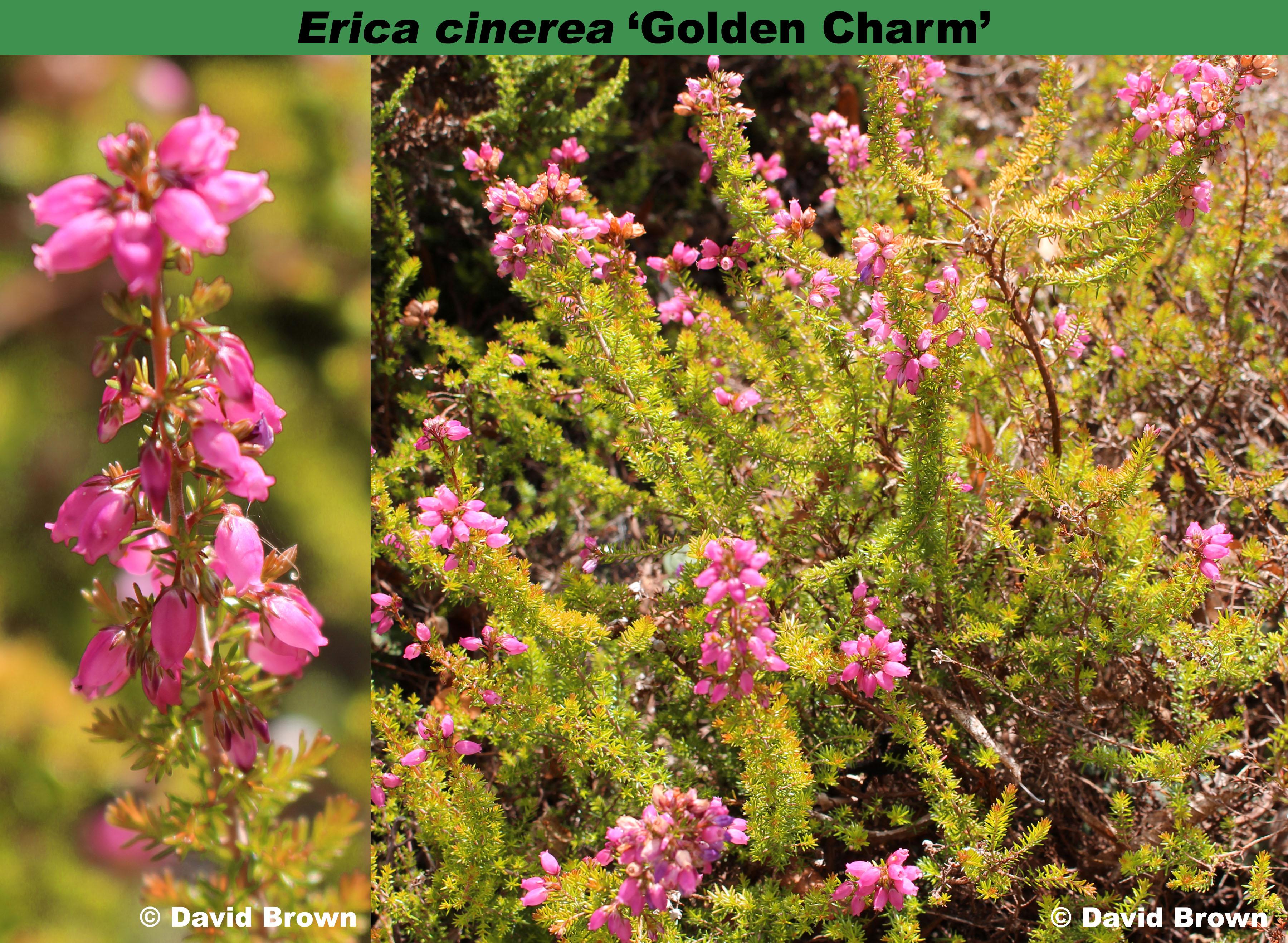 'Golden Charm'