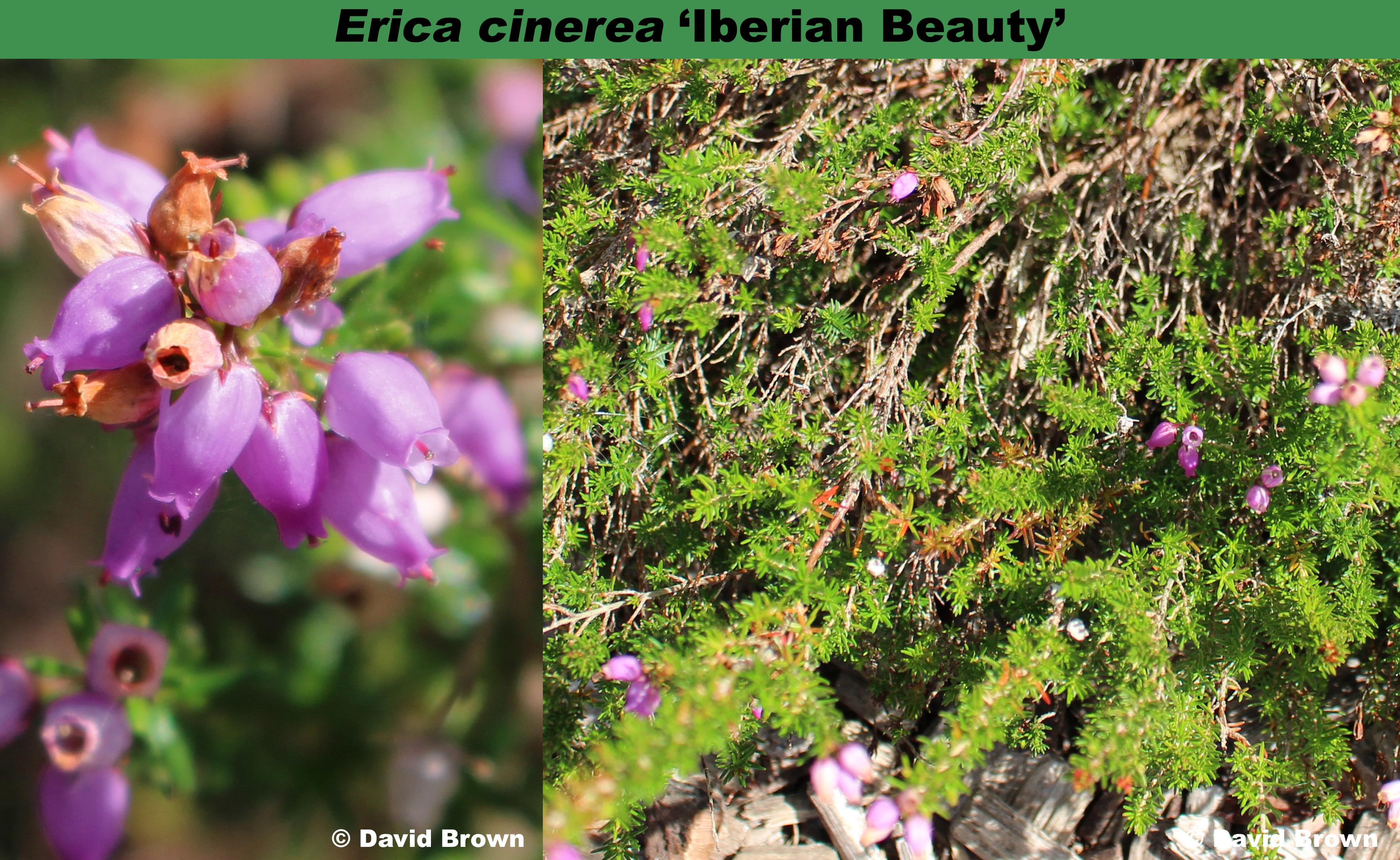 'Iberian Beauty'