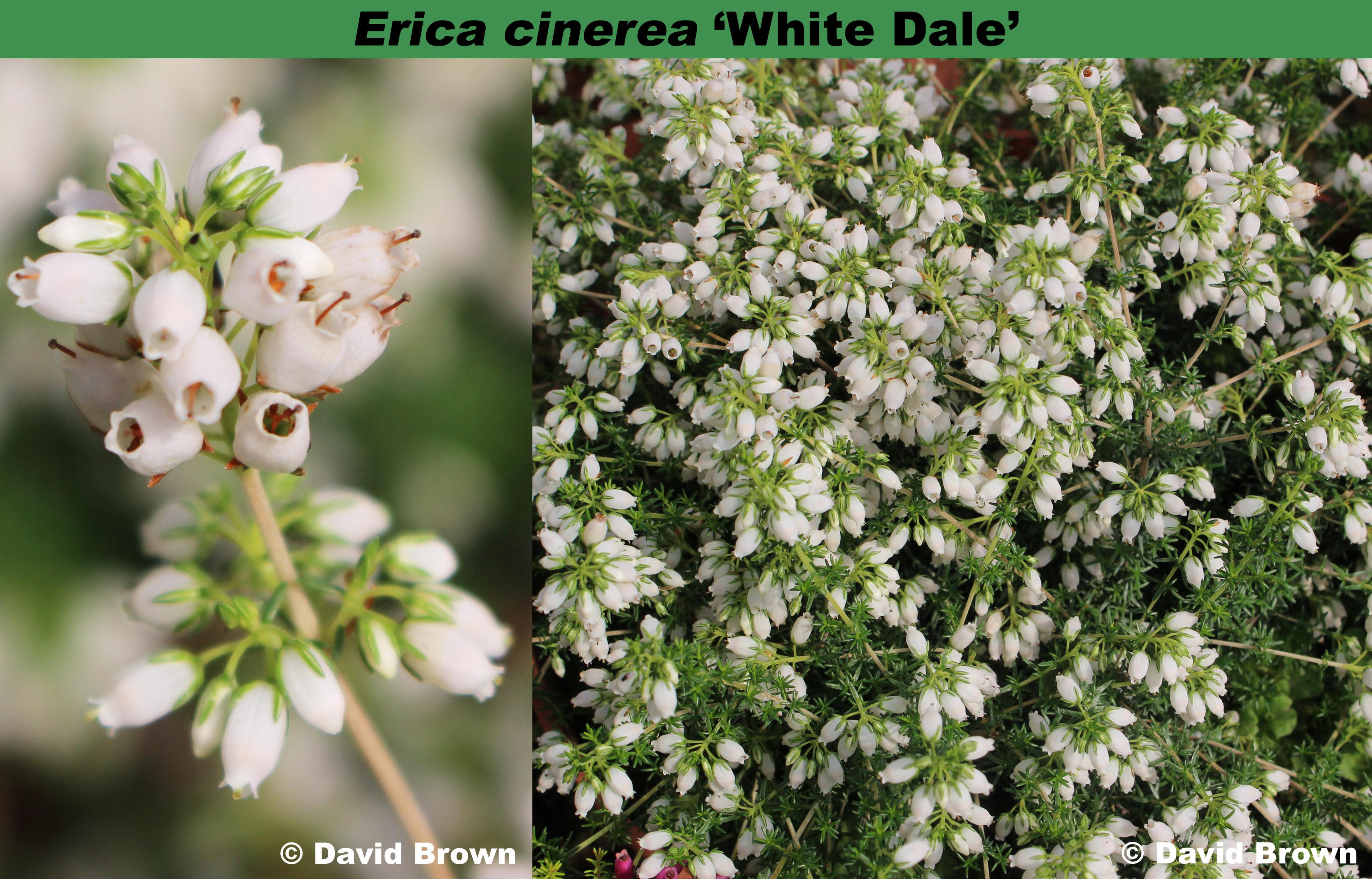 'White Dale'