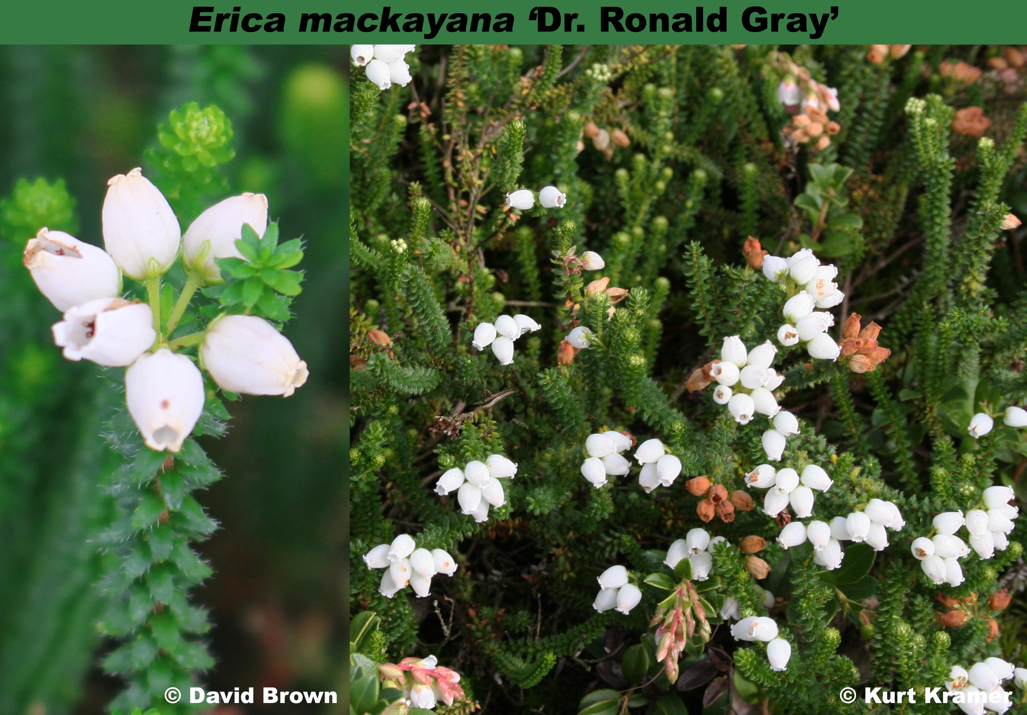 'Dr. Ronald Gray'