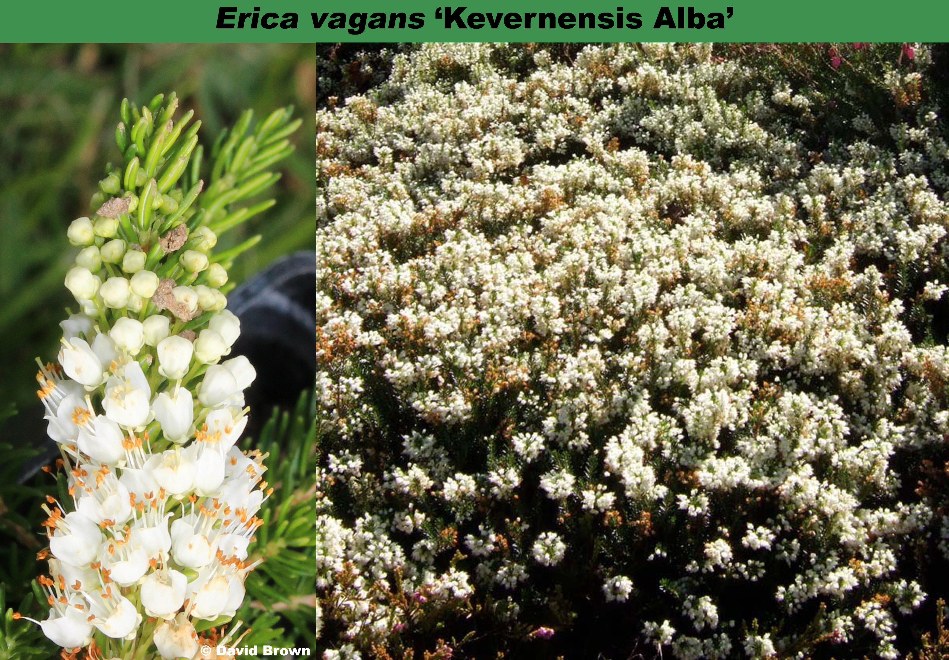 'Kevernensis Alba'