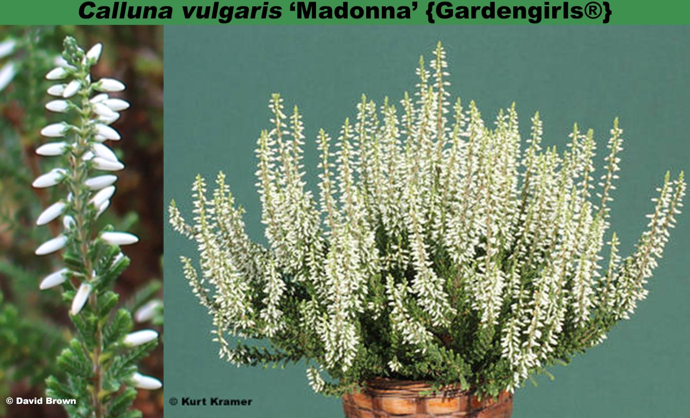 'Madonna' {Gardengirls®}
