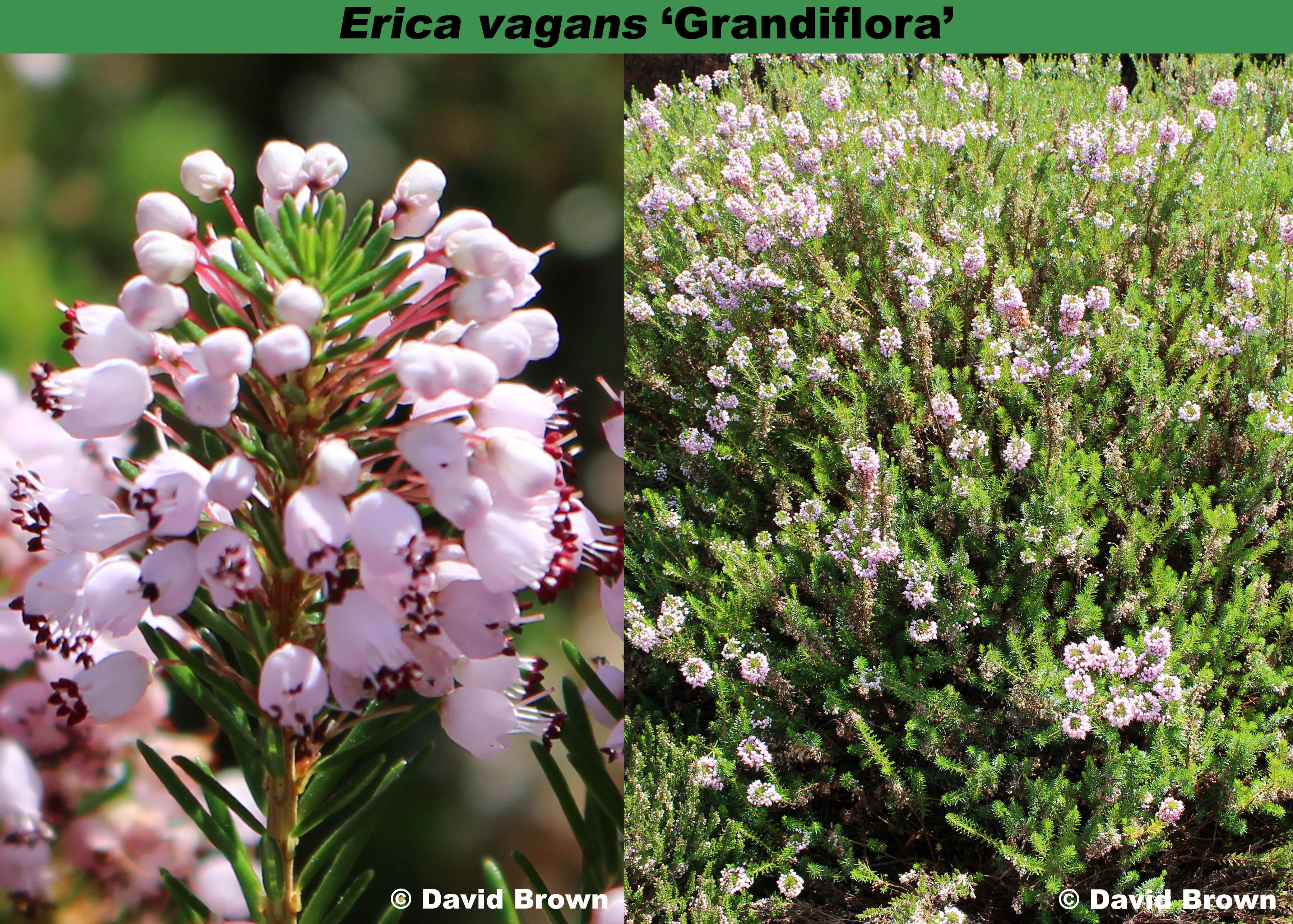 'Grandiflora'