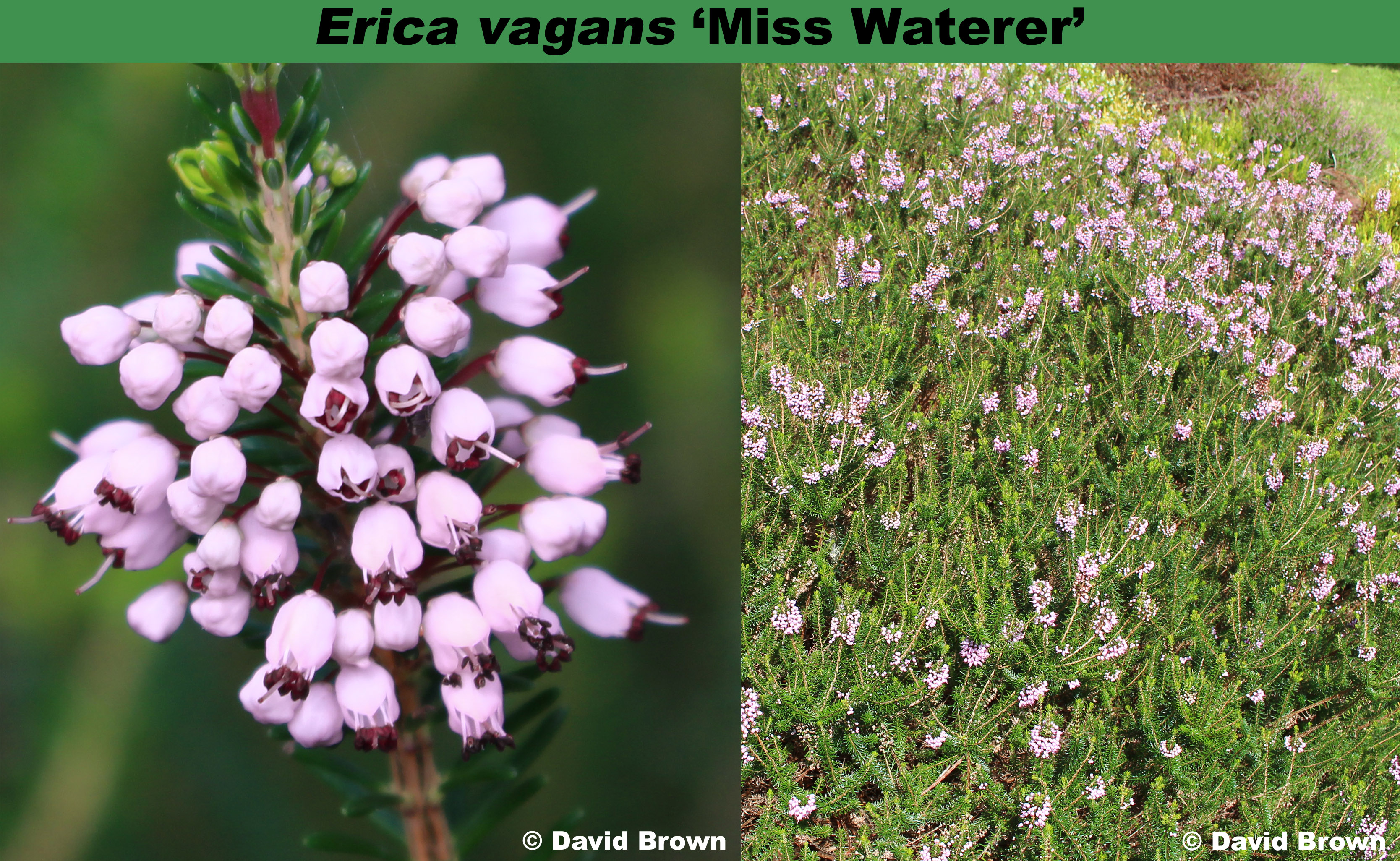 'Miss Waterer'