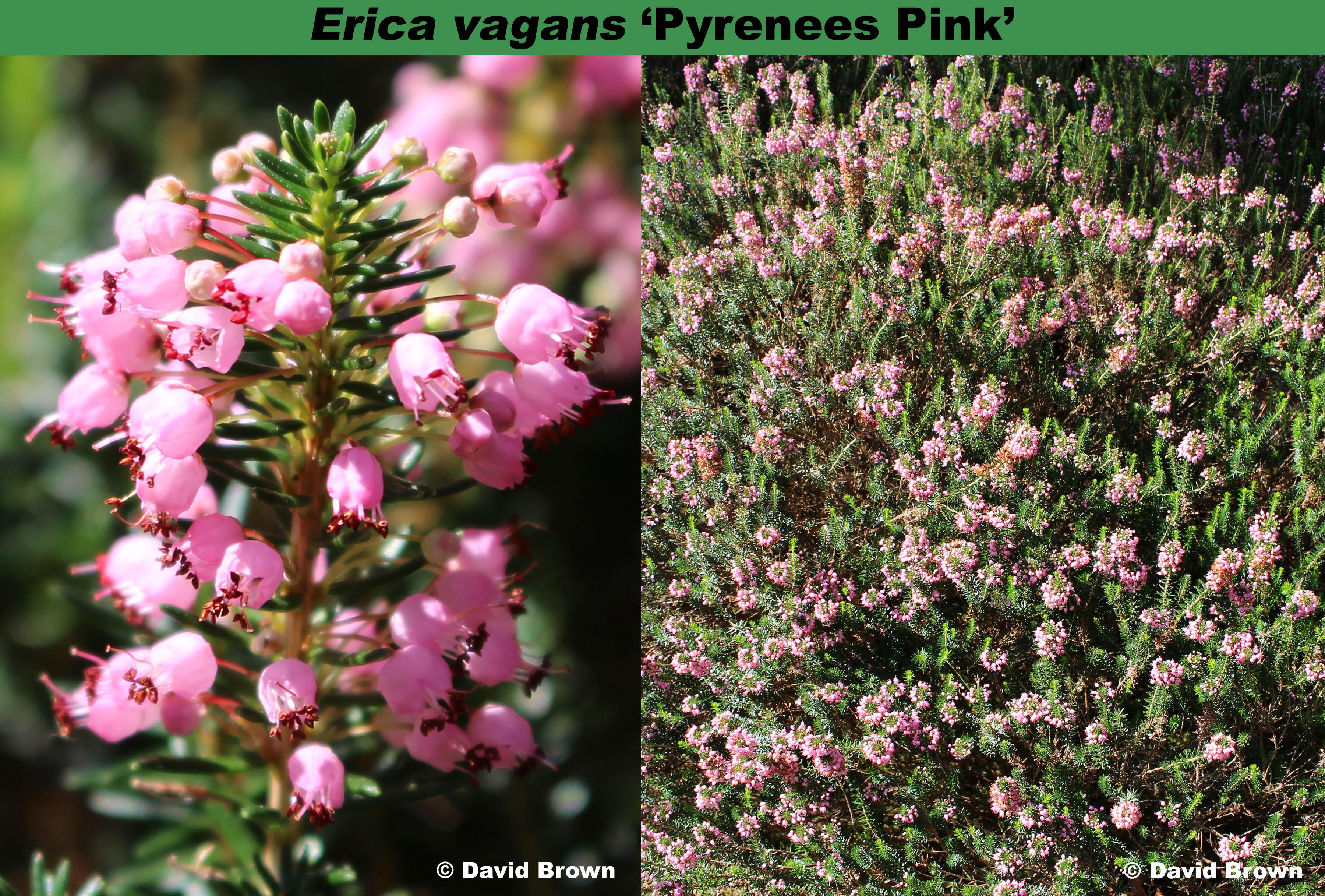 'Pyrenees Pink'