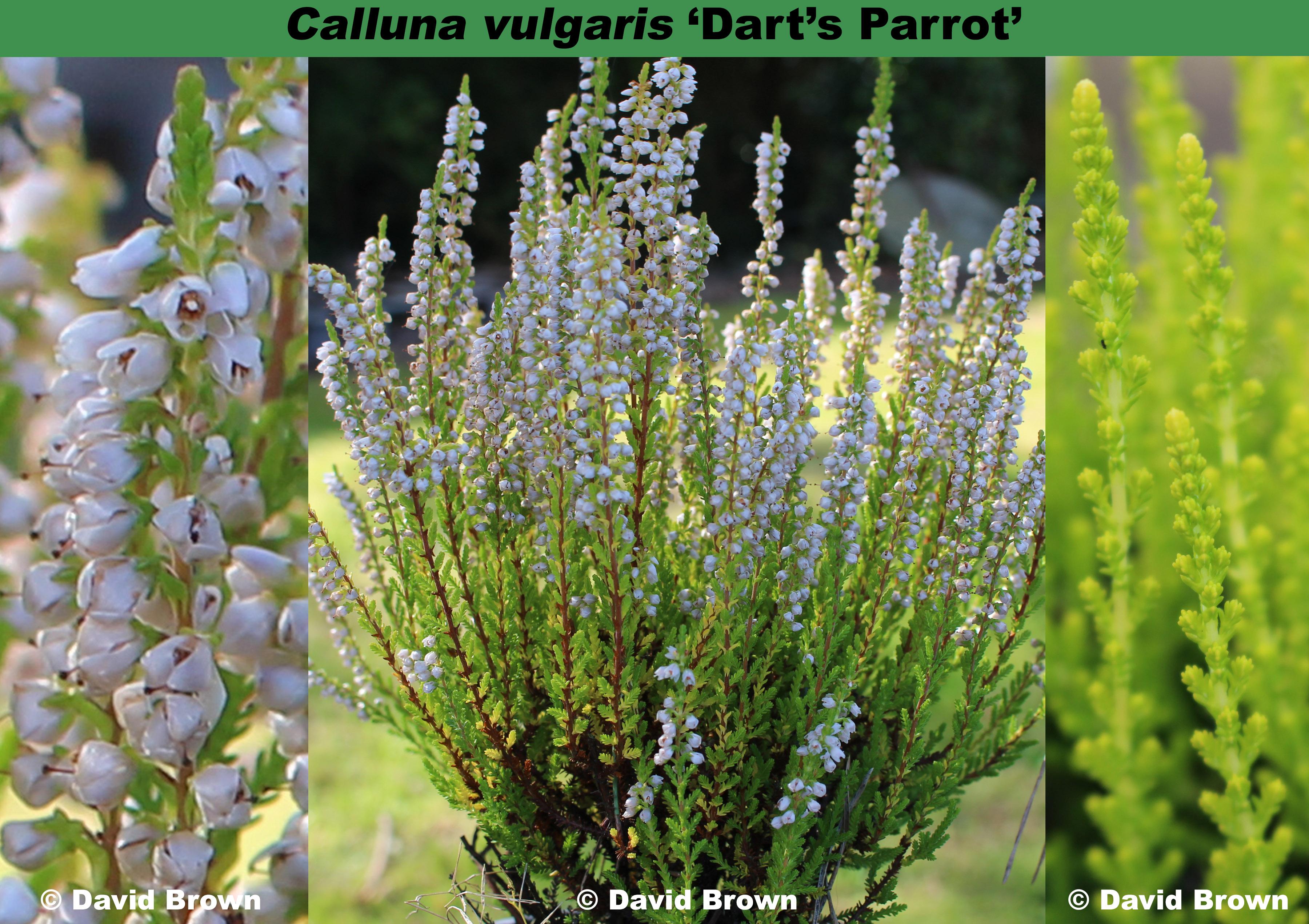 'Dart's Parrot'