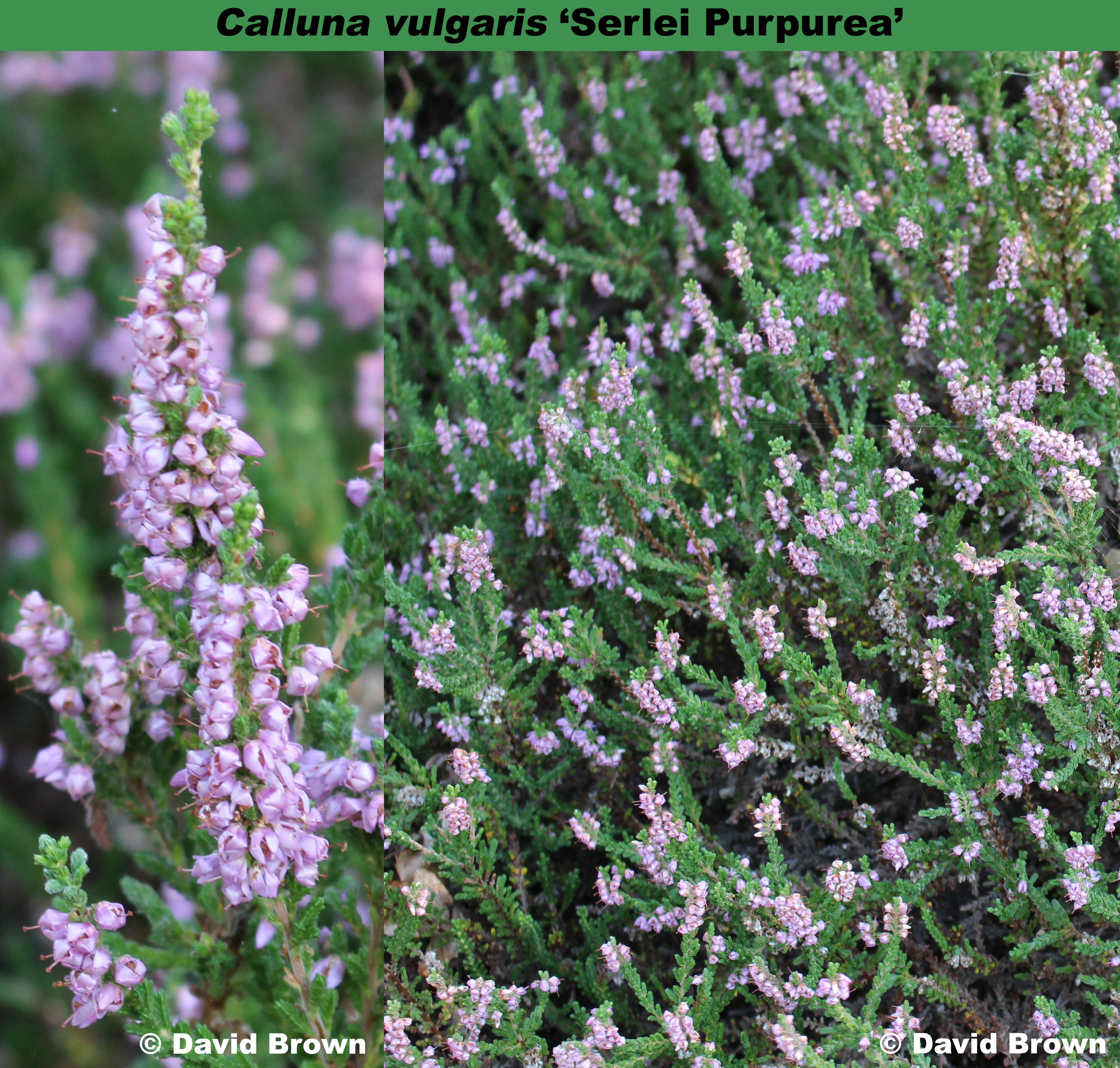 'Serlei Purpurea'