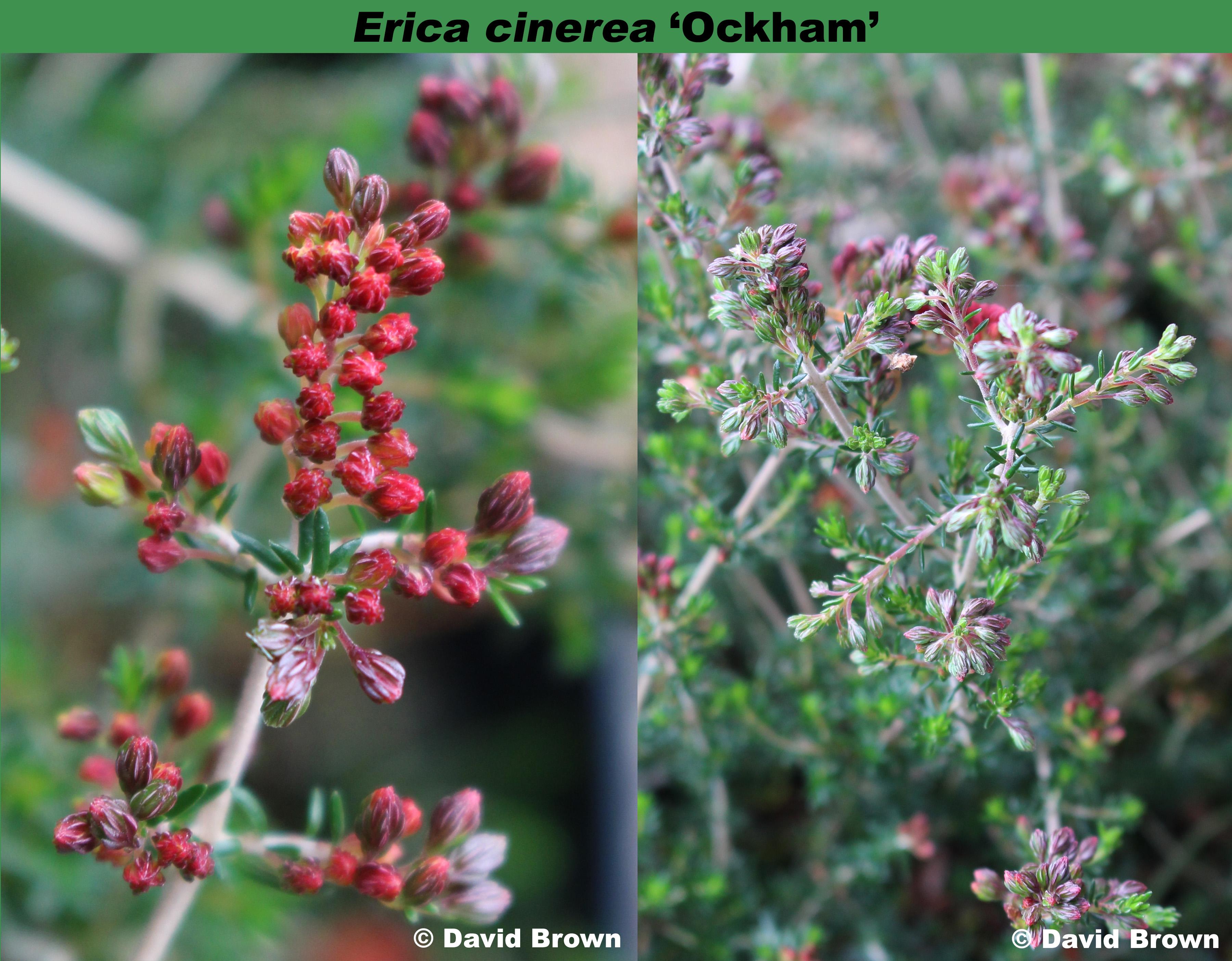 'Ockham'
