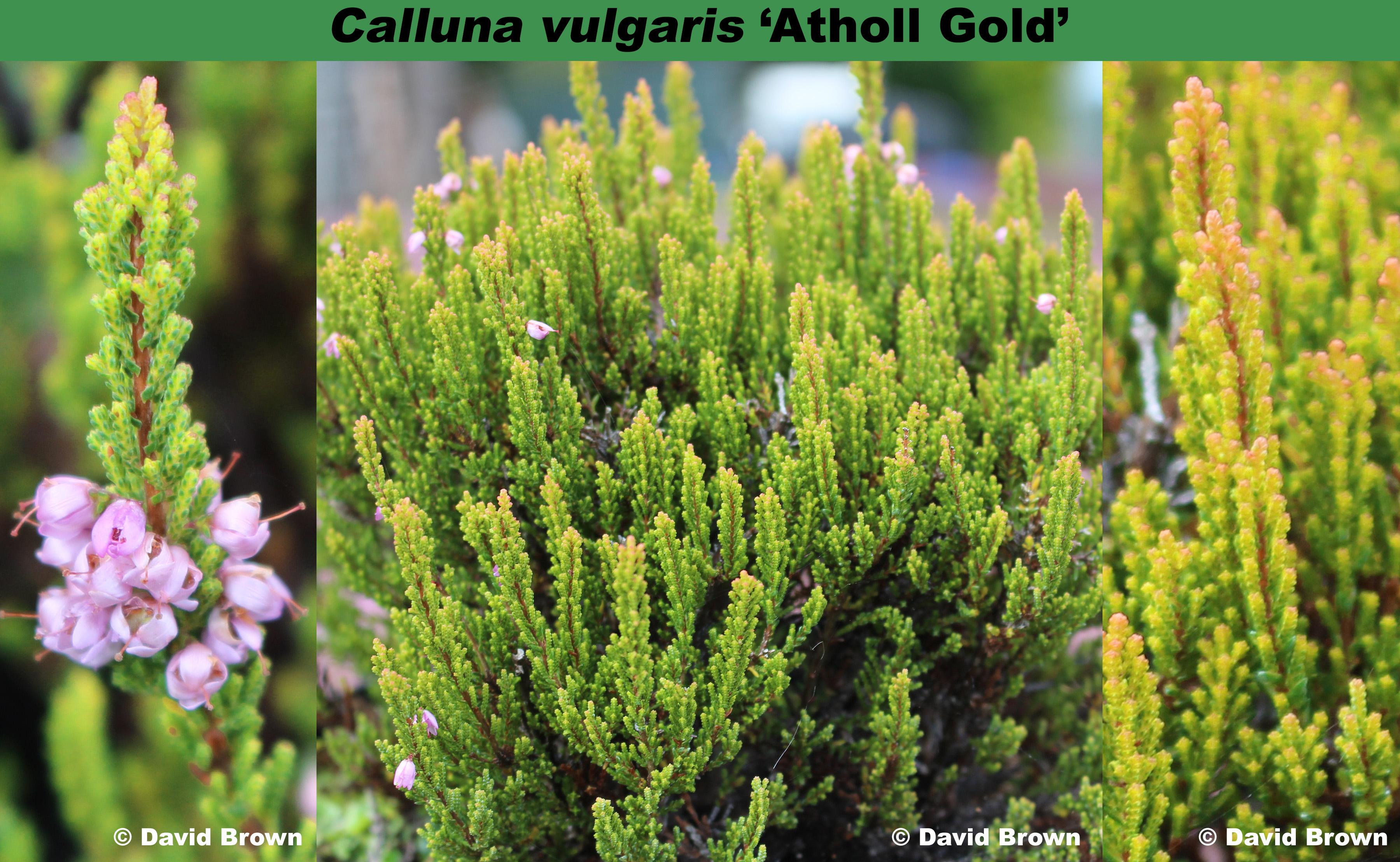 'Atholl Gold'