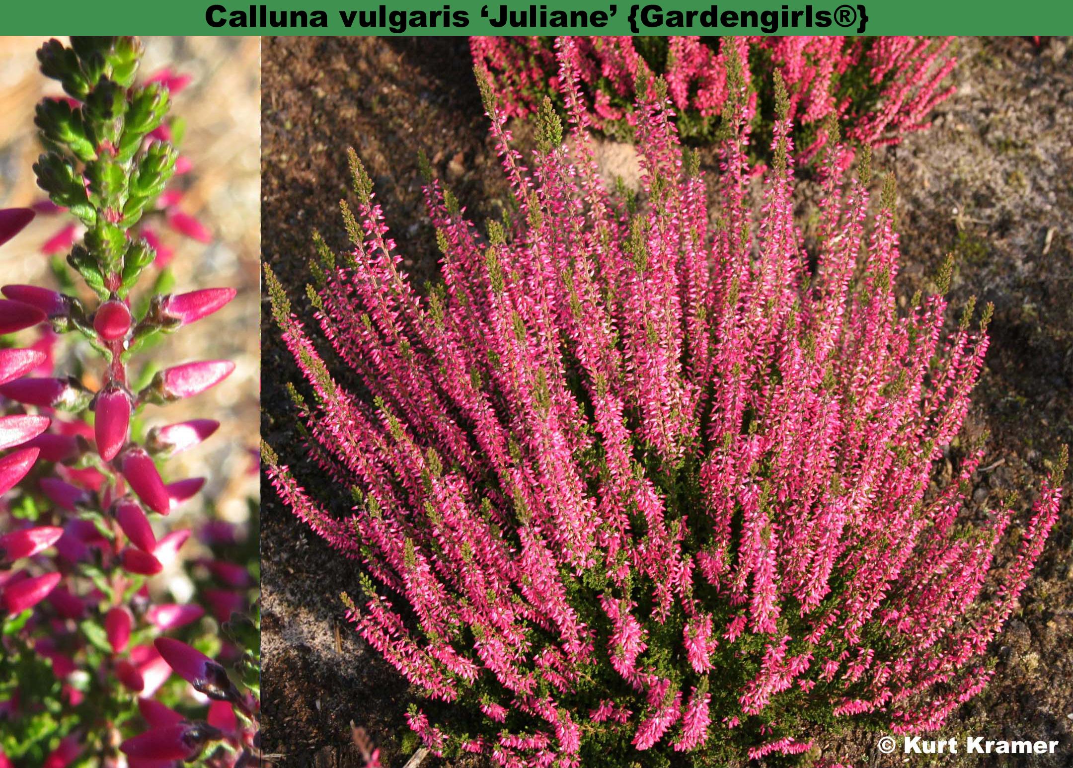 The heather society for Calluna vulgaris