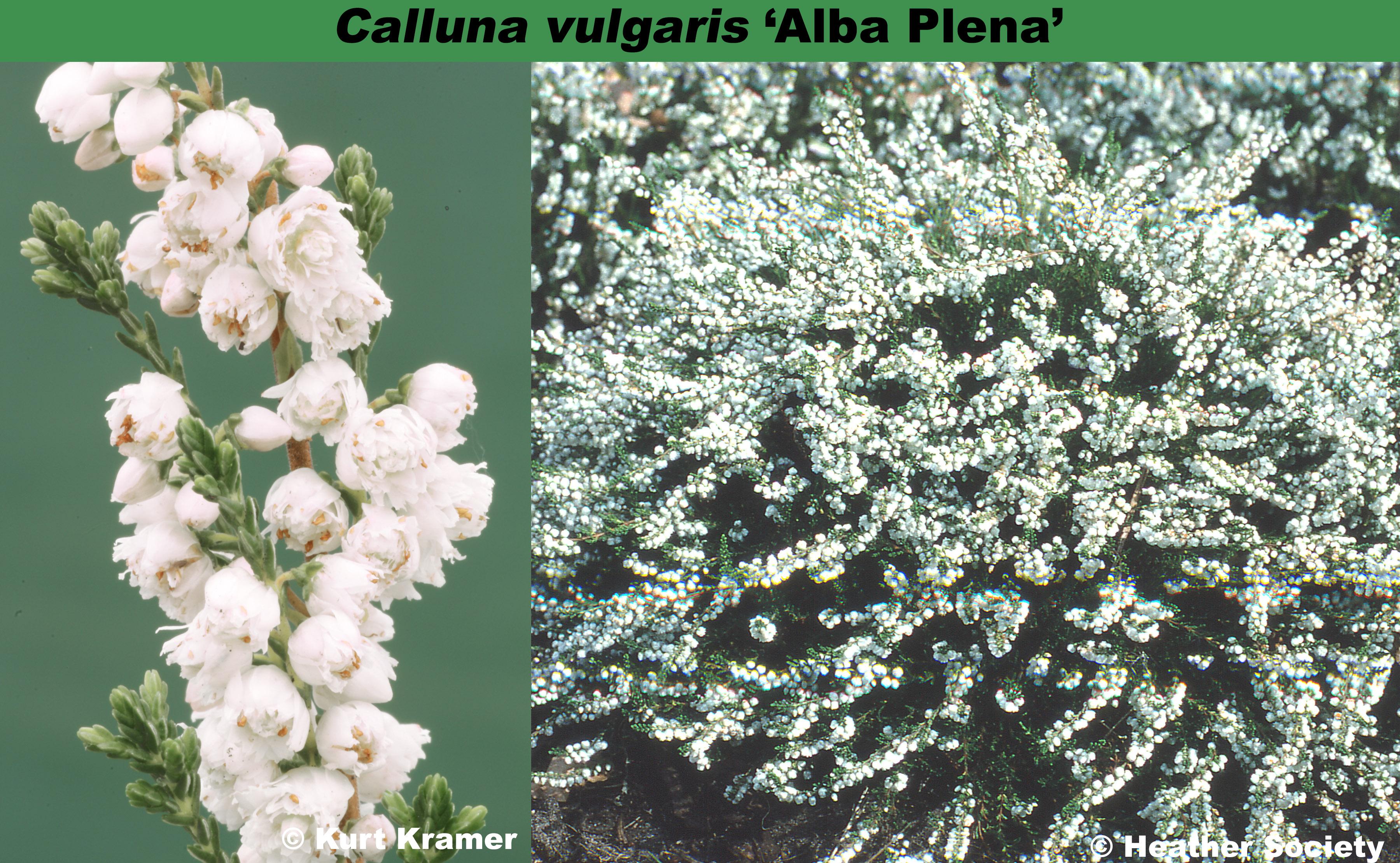 'Alba Plena'