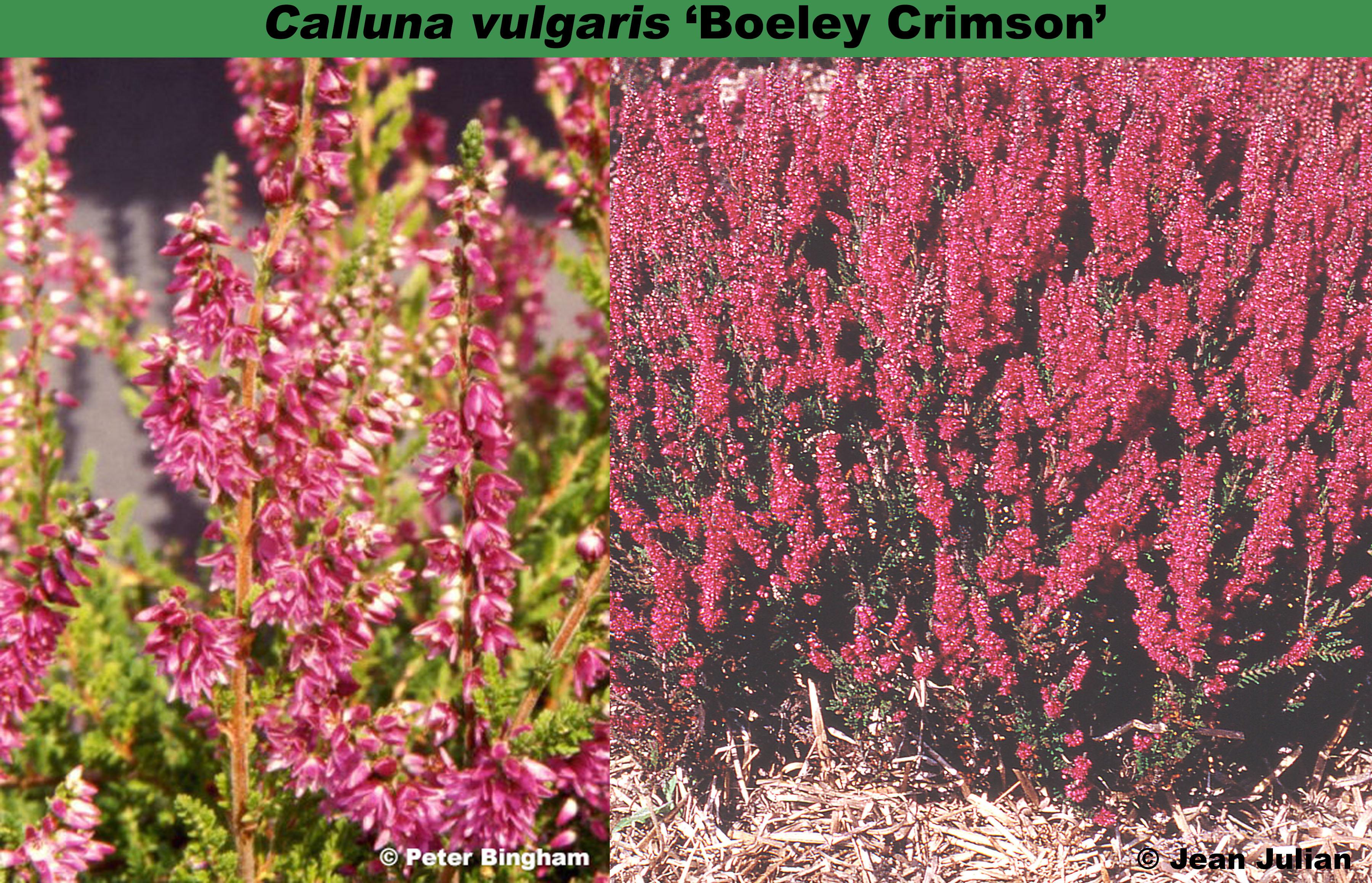 'Beoley Crimson'