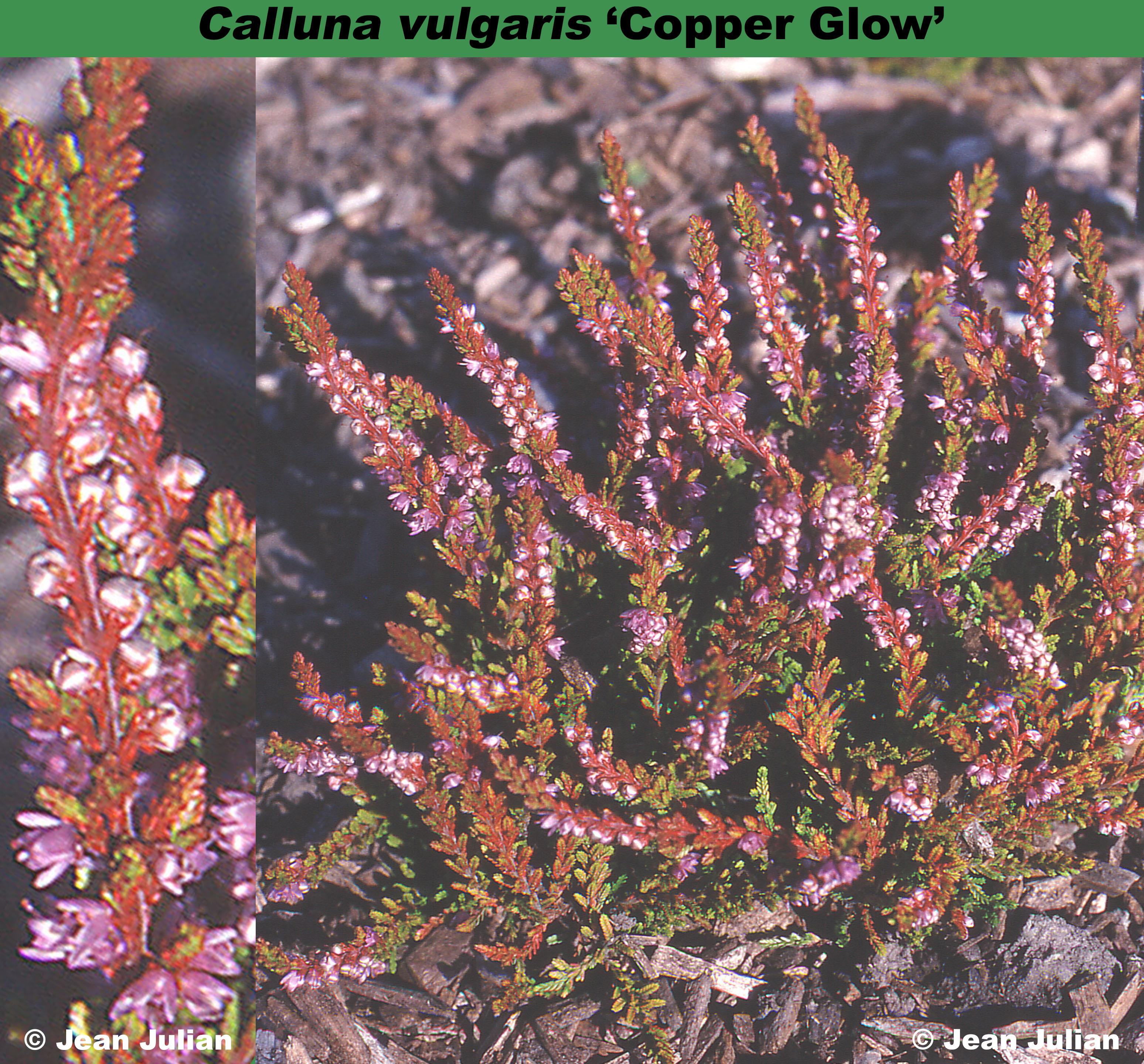 'Copper Glow'