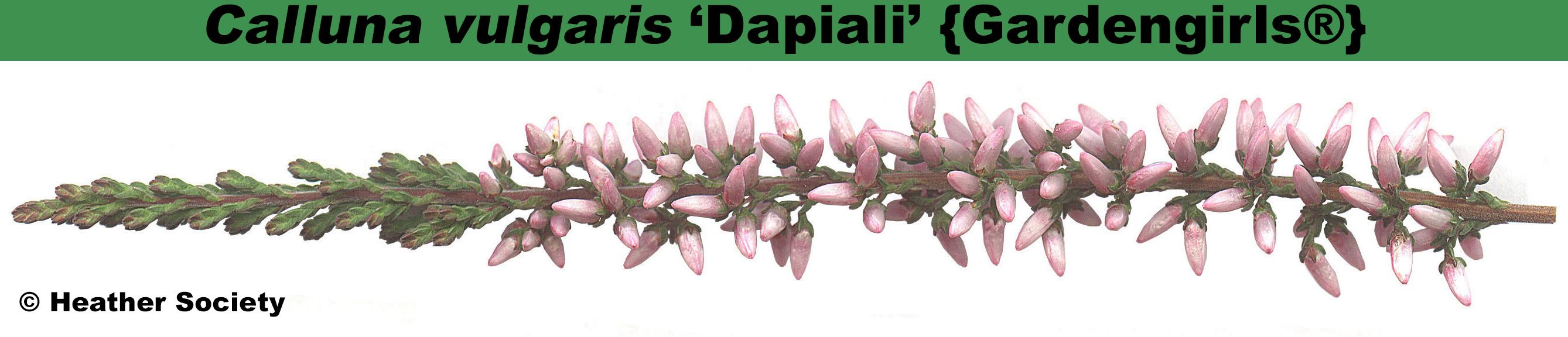 'Dapiali' {Gardengirls®}