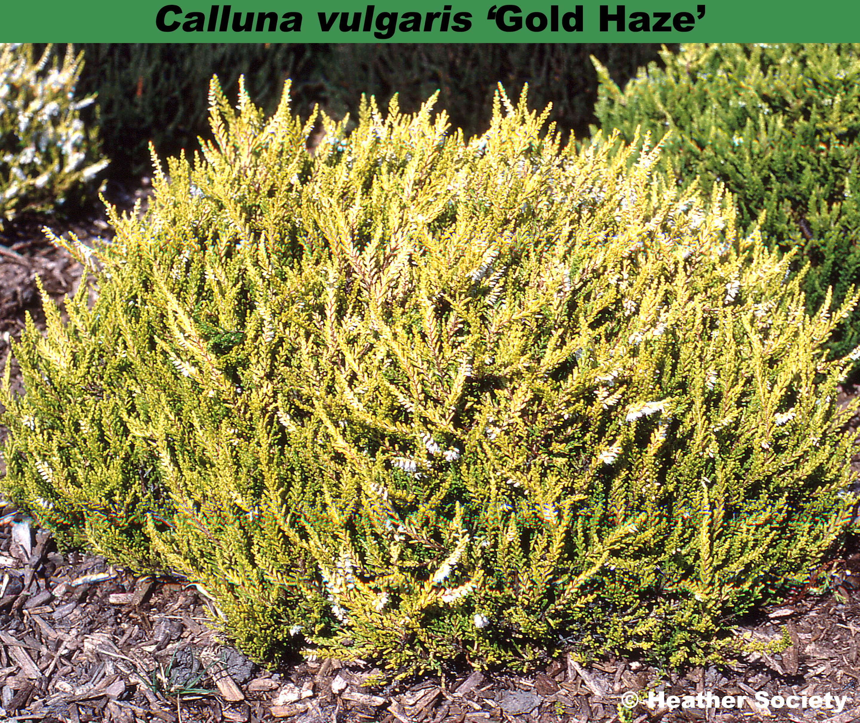 'Gold Haze'