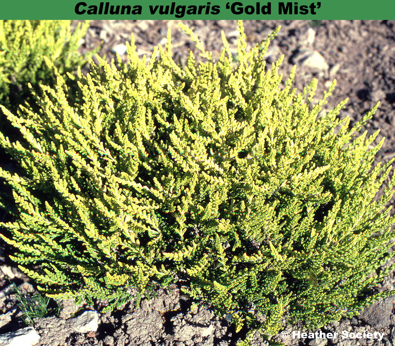 'Gold Mist'