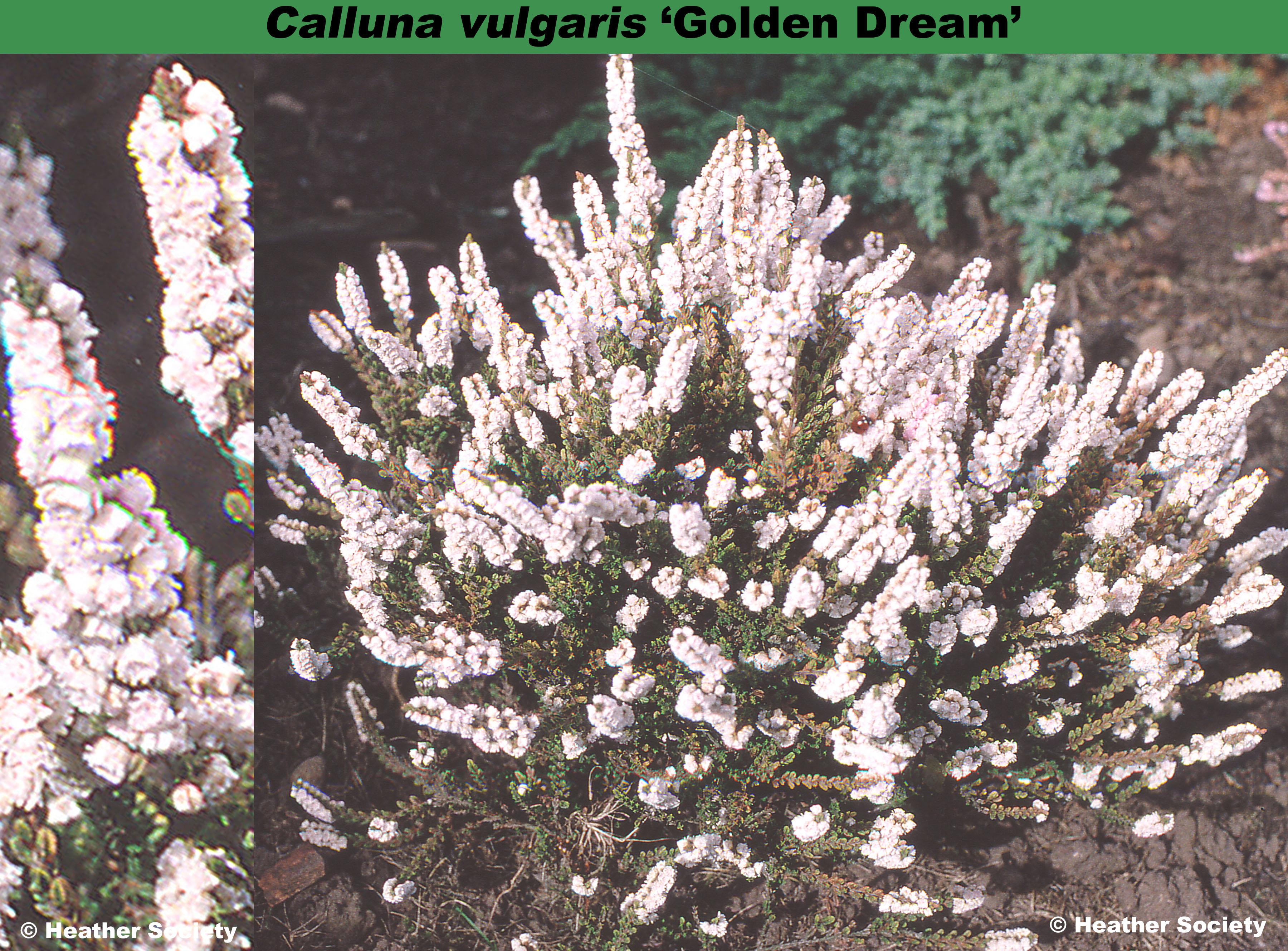 'Golden Dream'
