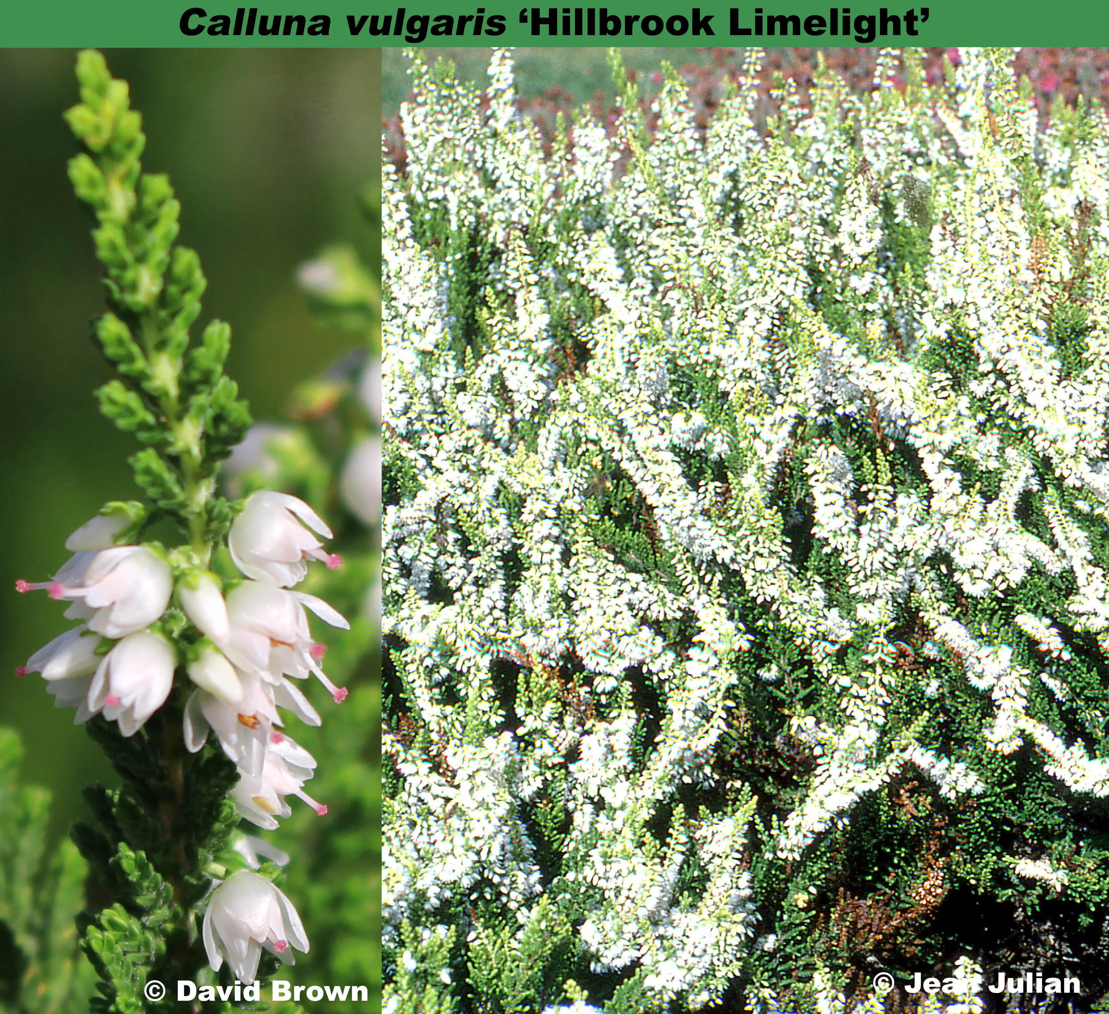 'Hillbrook Limelight'