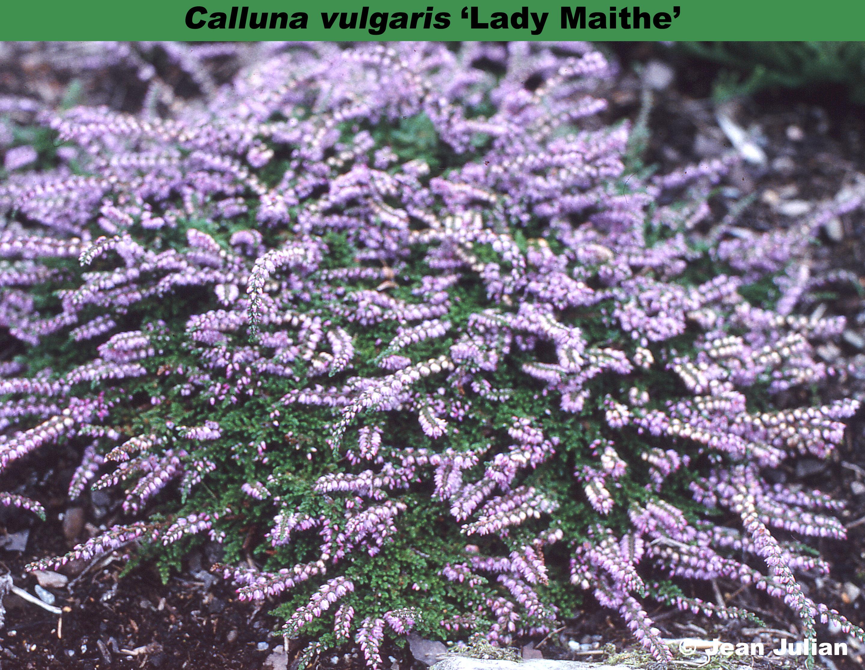 'Lady Maithe'