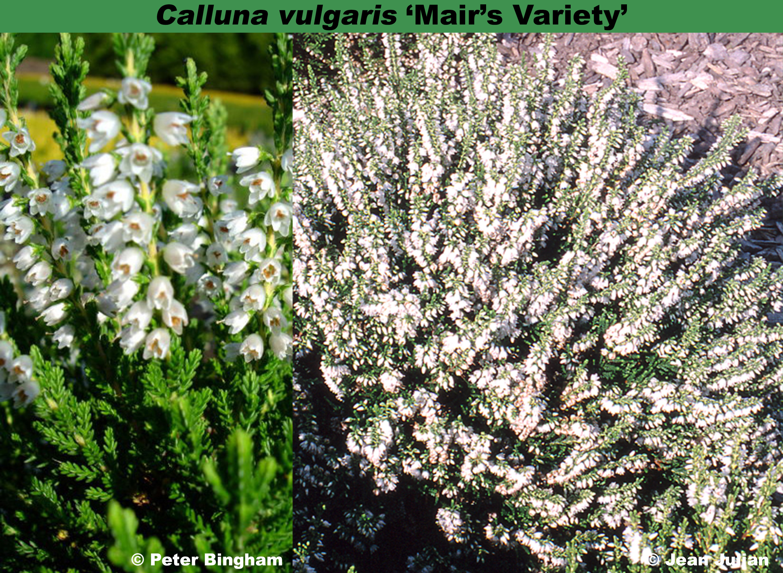 'Mair's Variety'