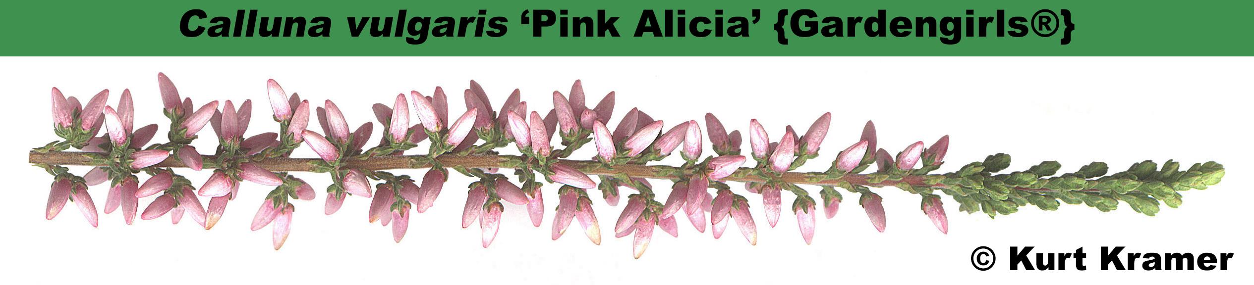 'Pink Alicia' {Gardengirls®}