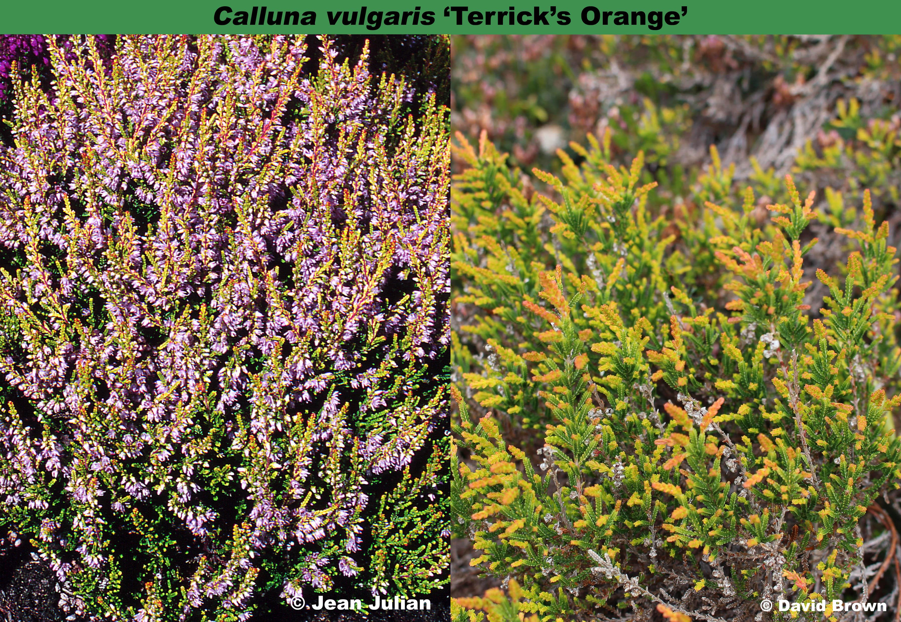 'Terrick's Orange'