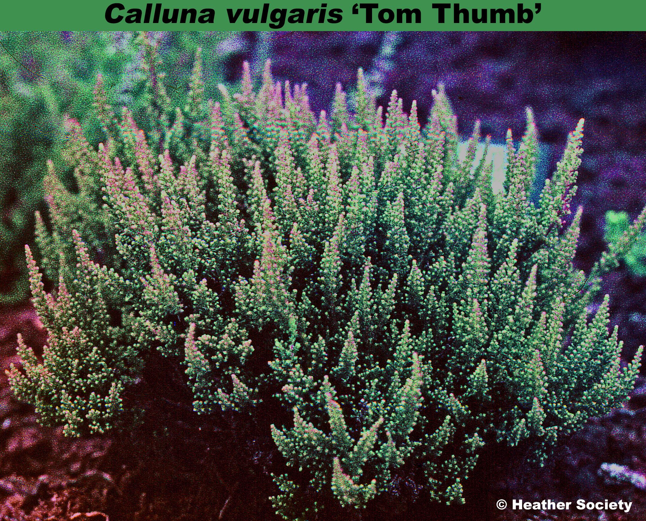 'Tom Thumb'