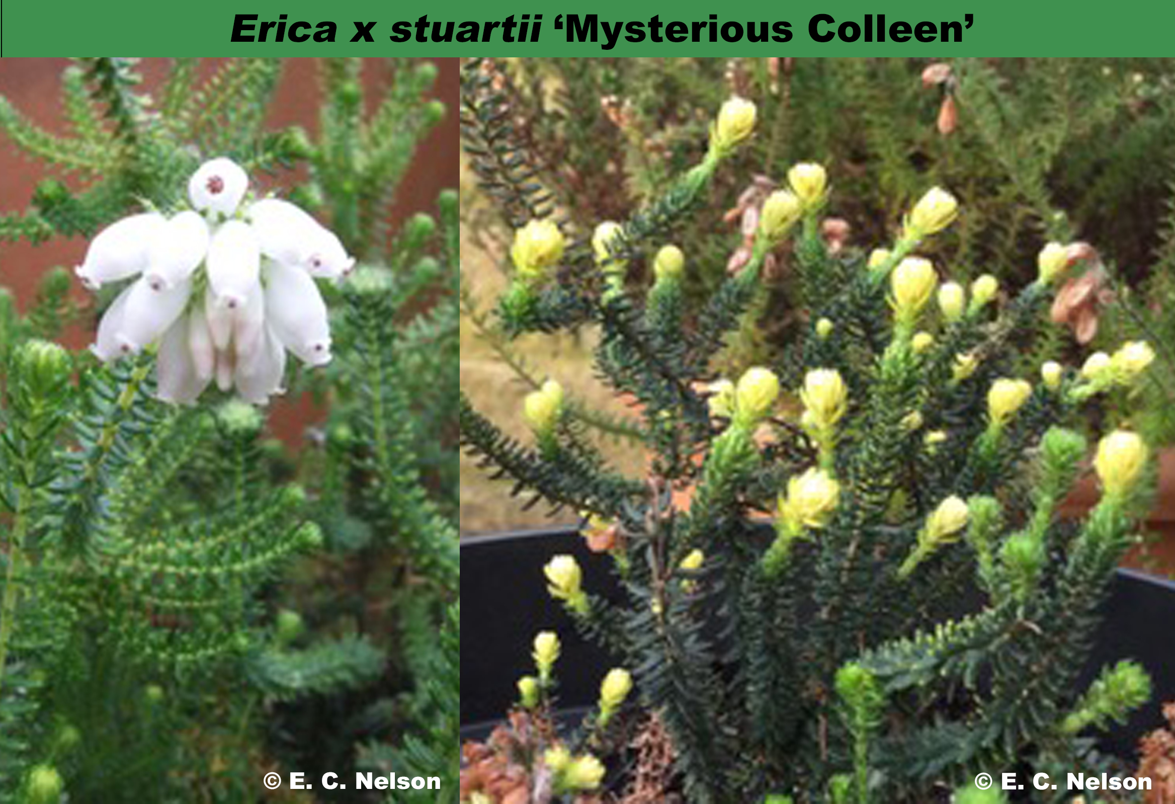 'Mysterious Colleen'