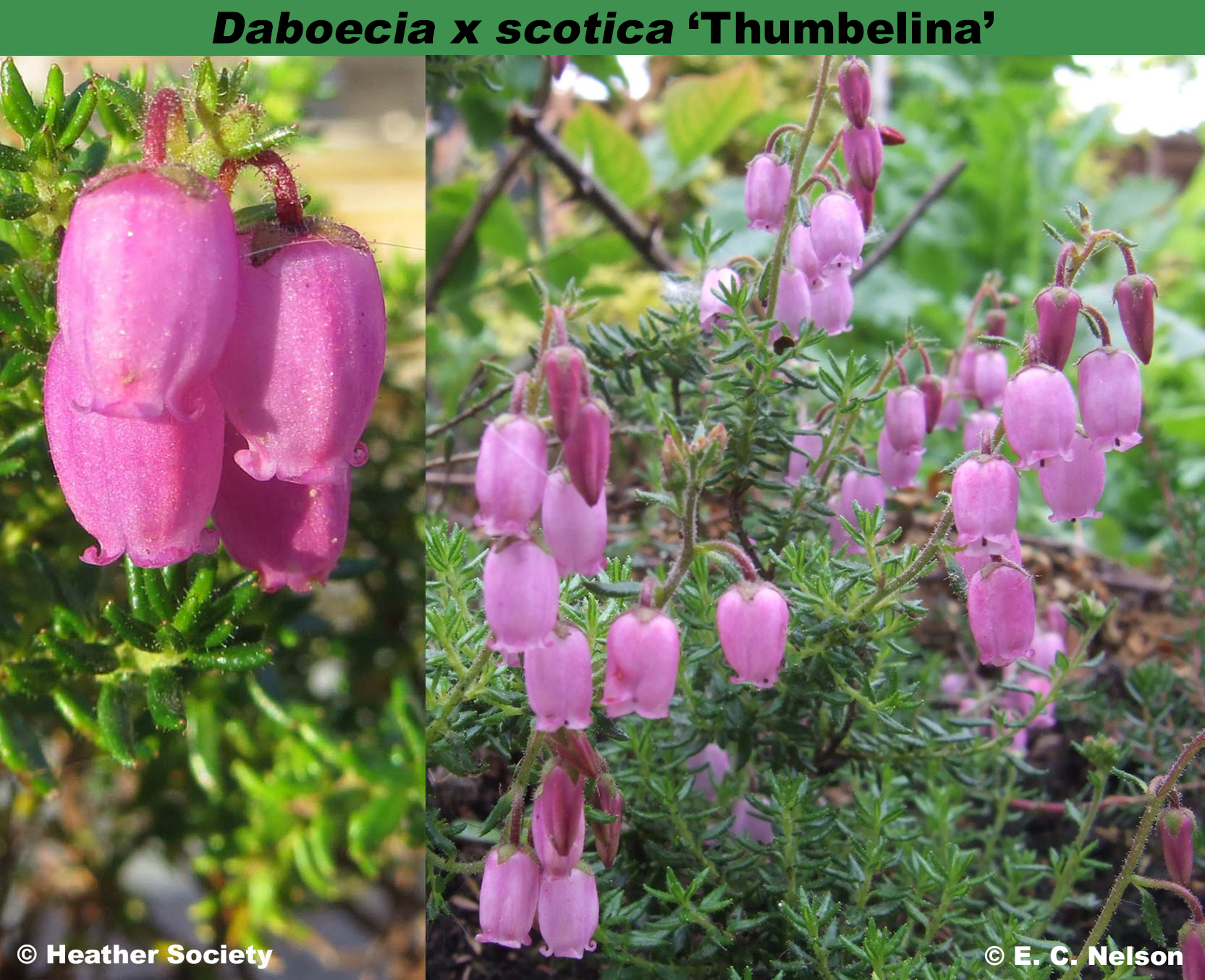 'Thumbelina'