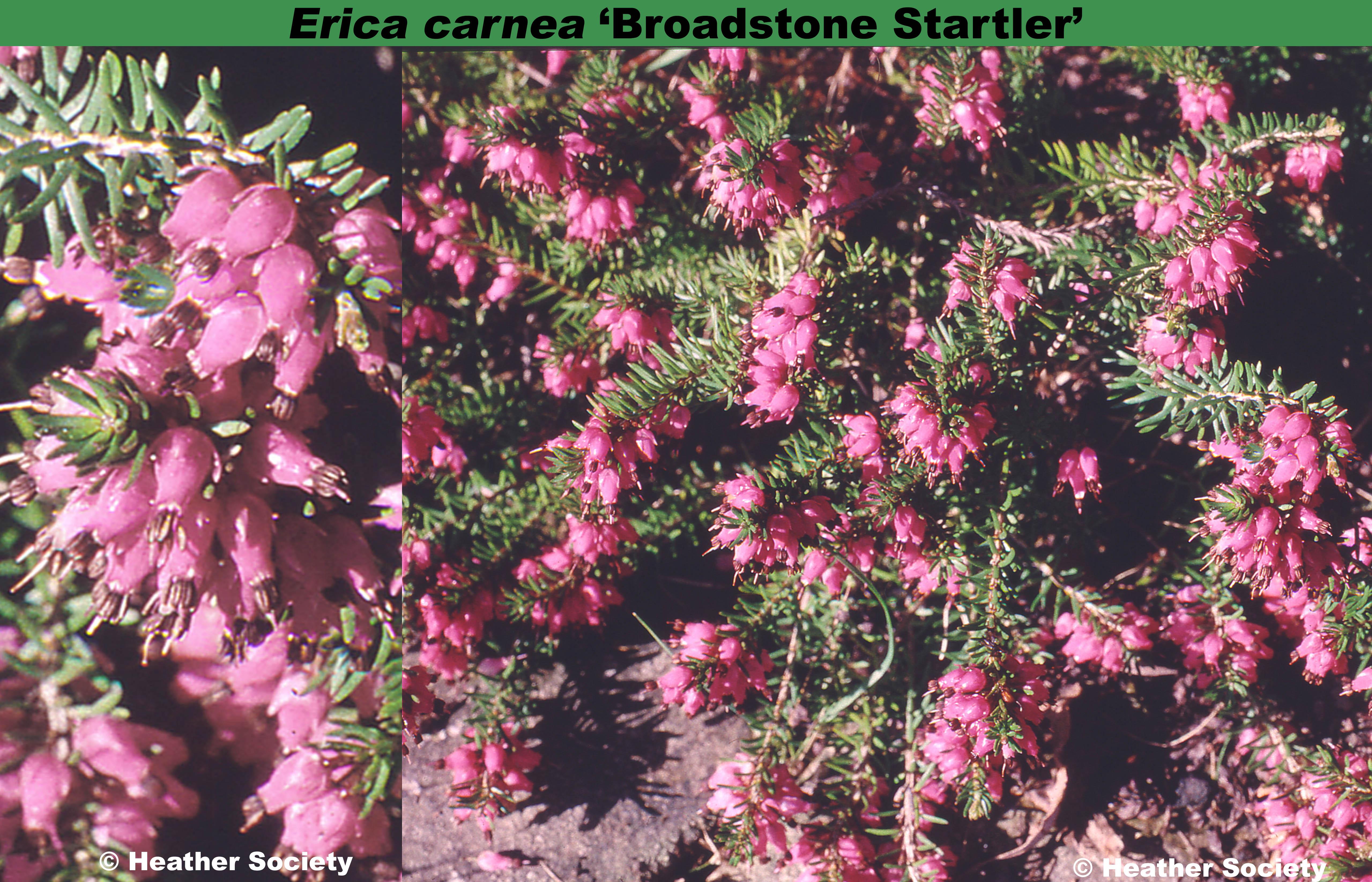 'Broadstone Startler'