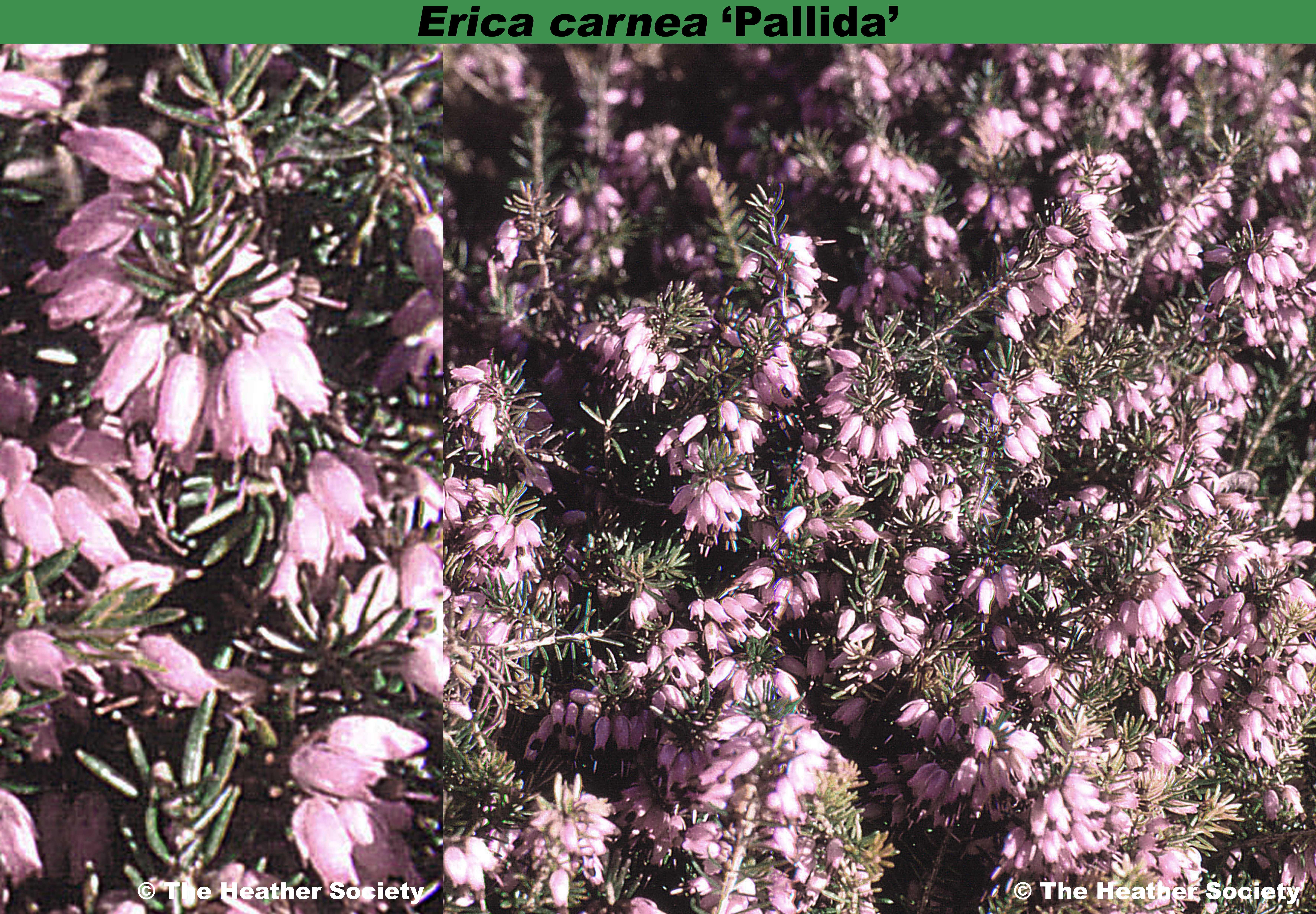 Erica carnea 'Pallida'