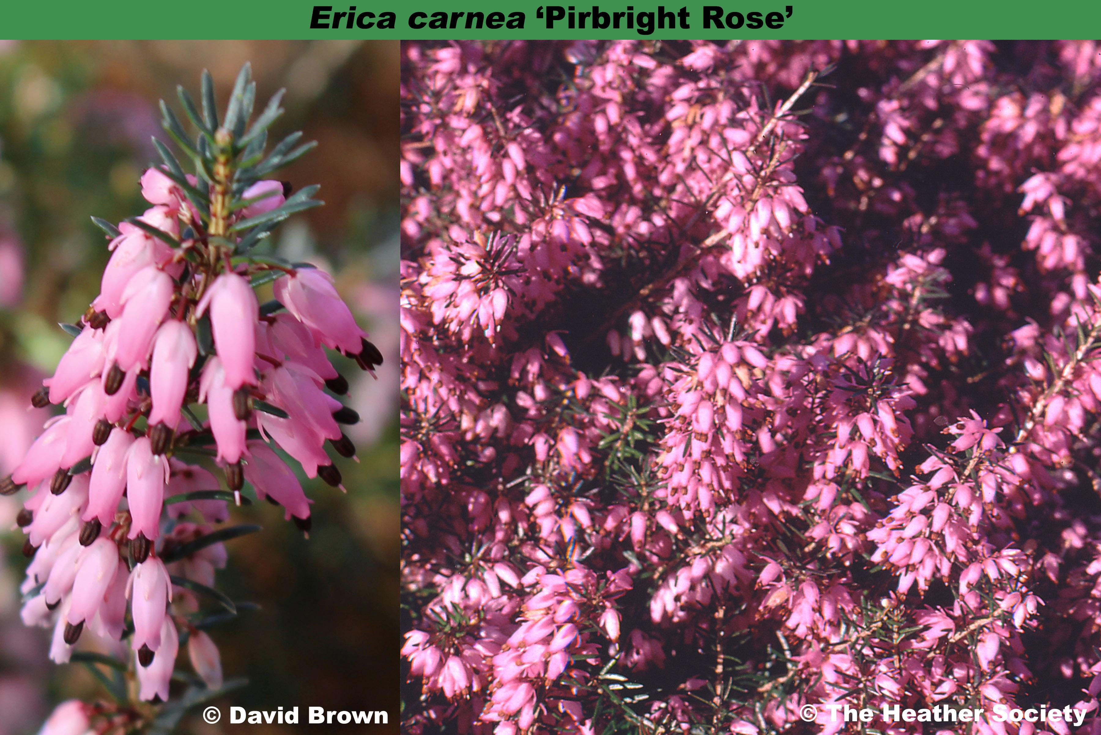 'Pirbright Rose'