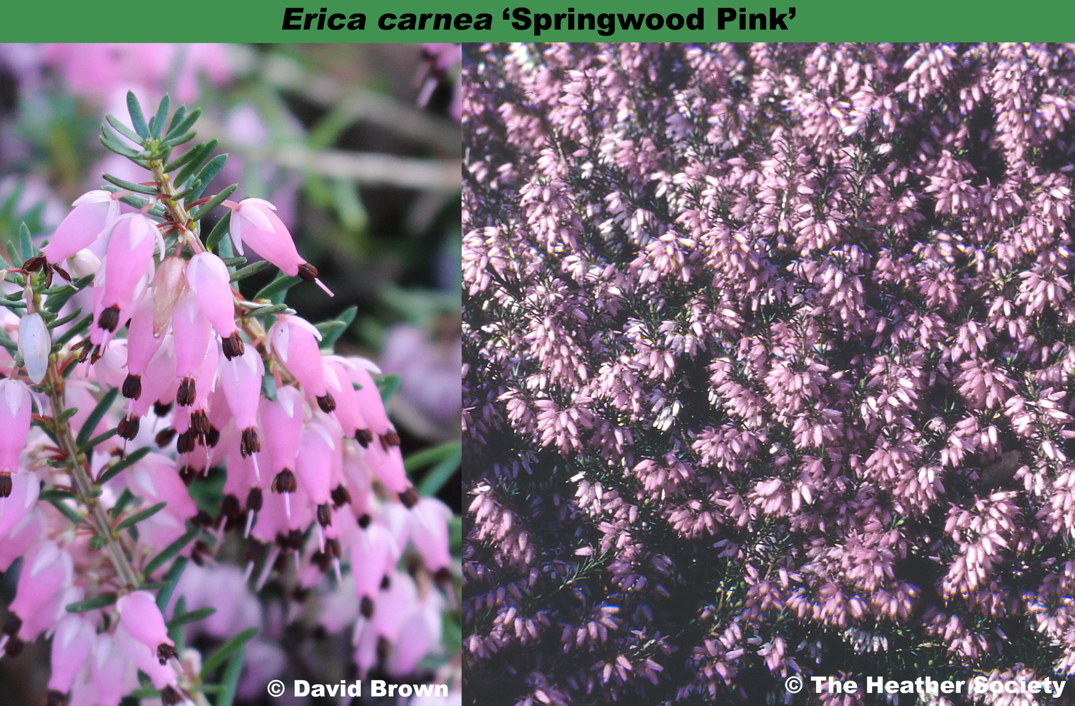 'Springwood Pink'