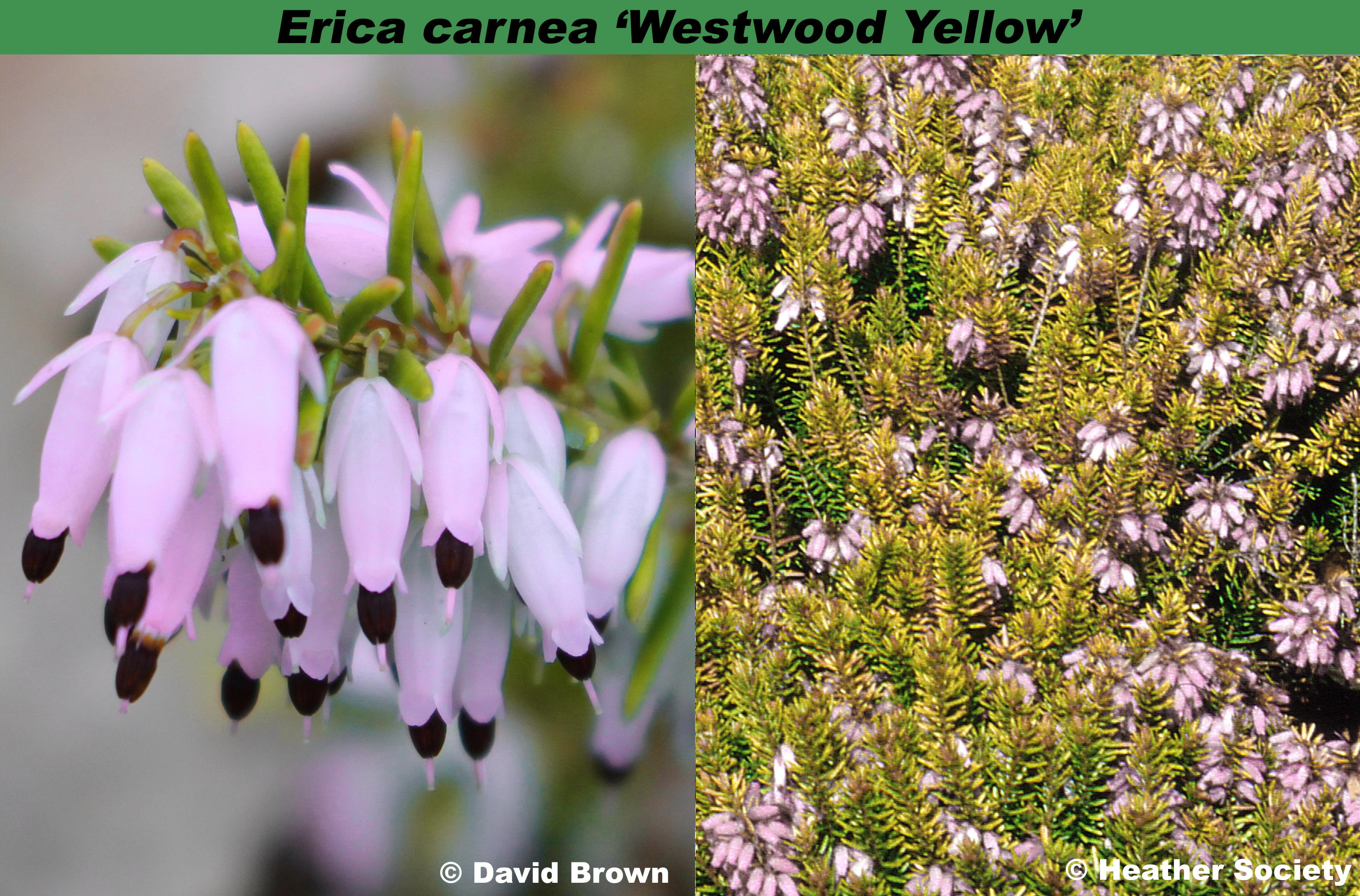'Westwood Yellow'