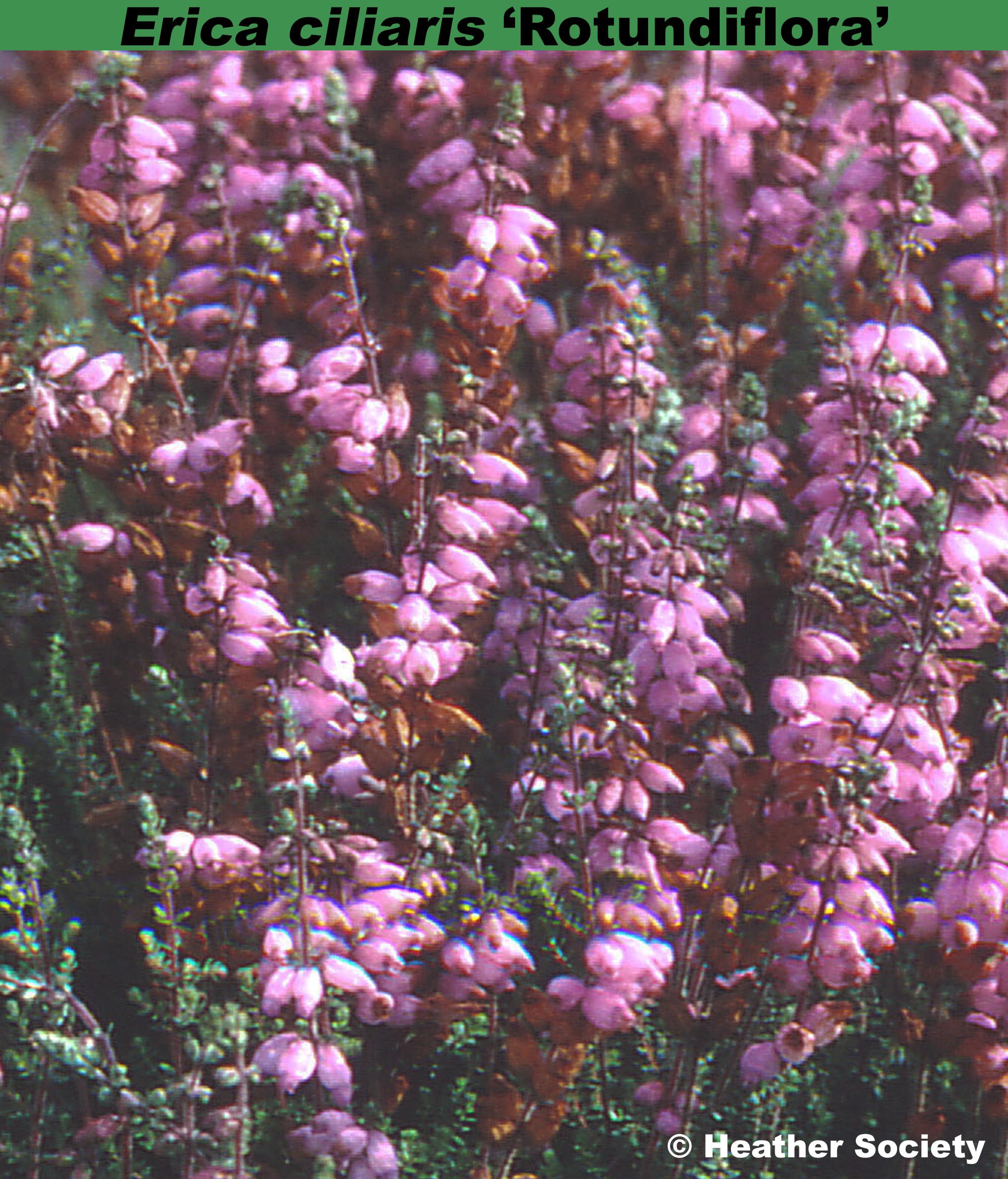 'Rotundiflora'