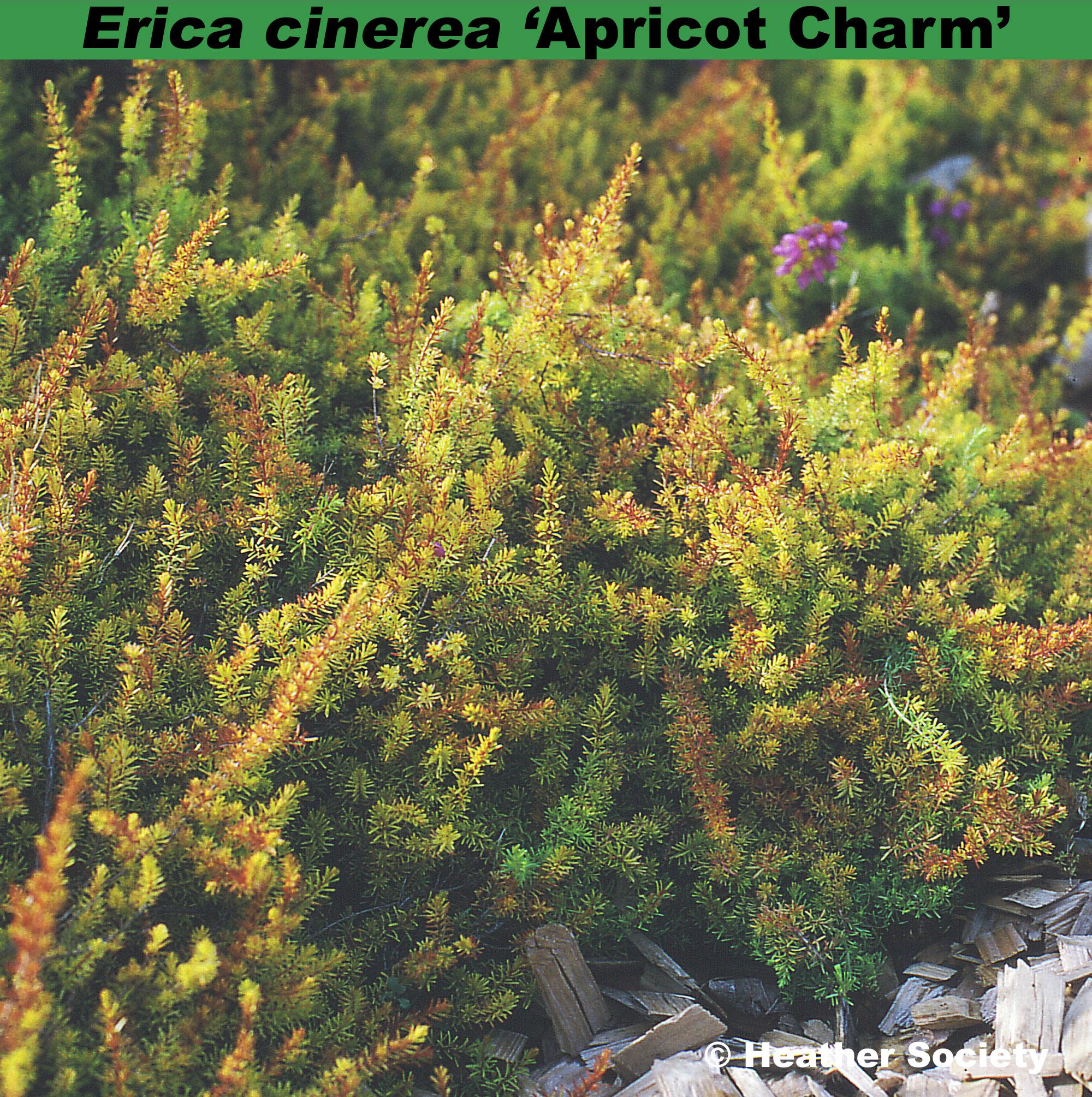 'Apricot Charm'