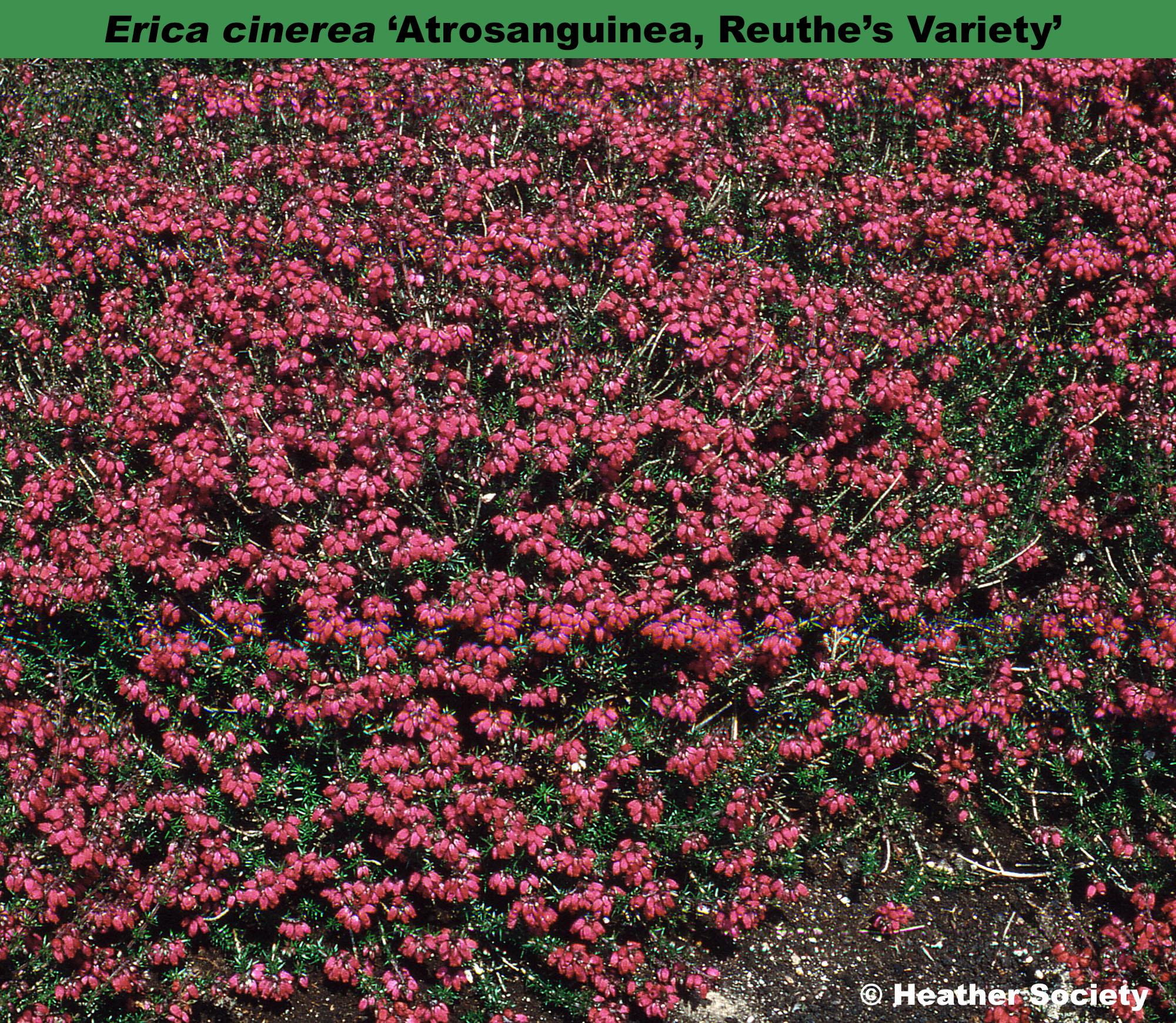 'Atrosanguinea, Reuthe's Variety'