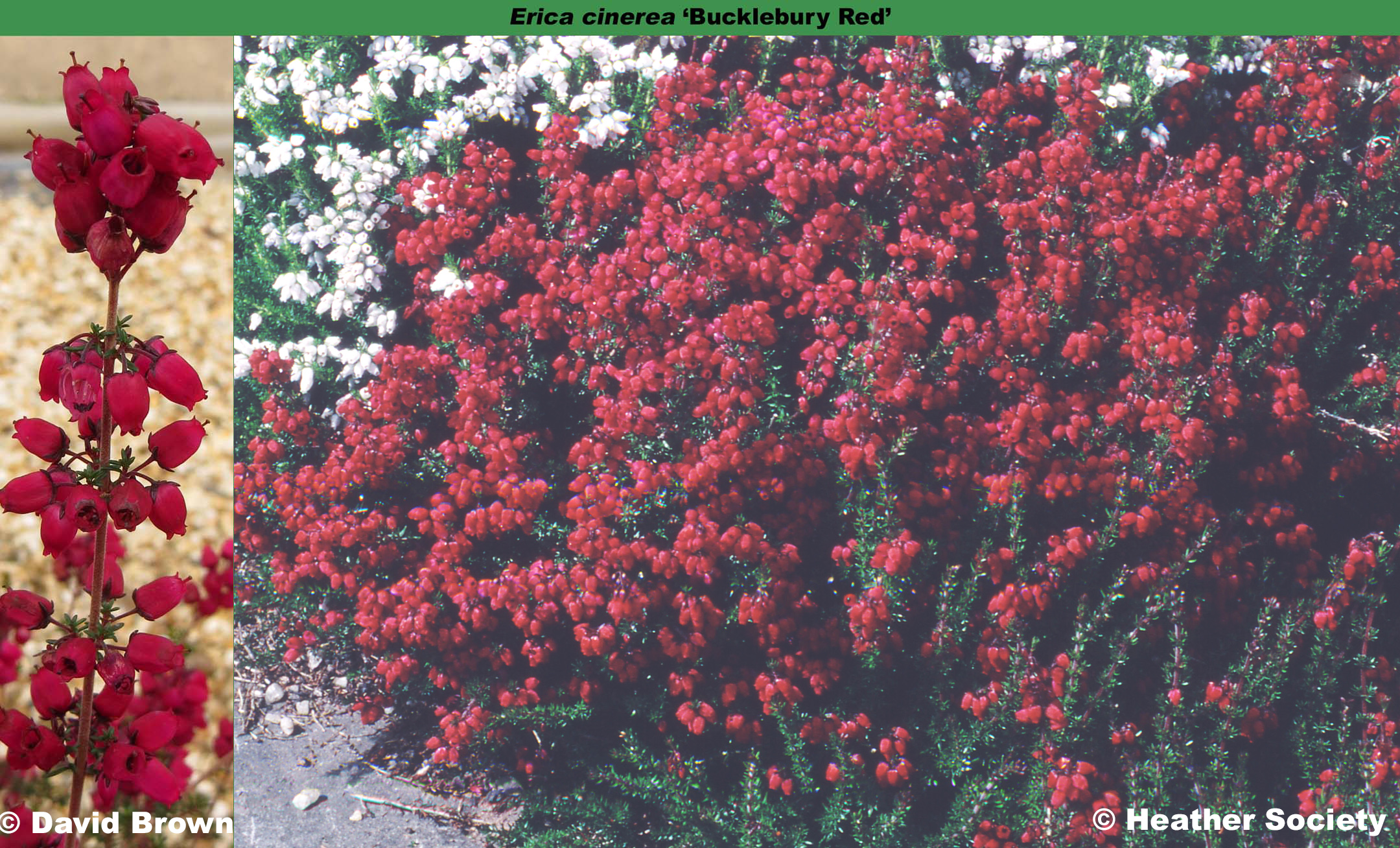 'Bucklebury Red'
